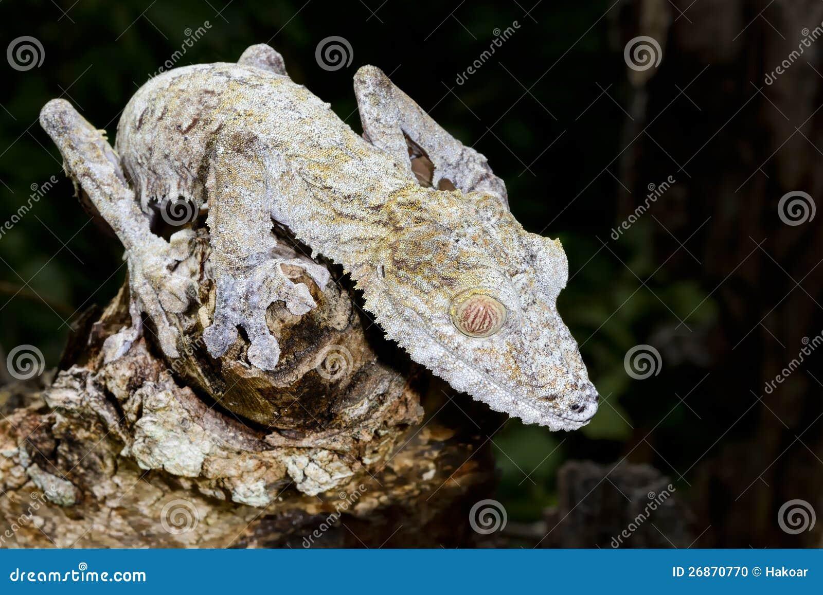 Γιγαντιαίο gecko φύλλο-ουρών, marozevo