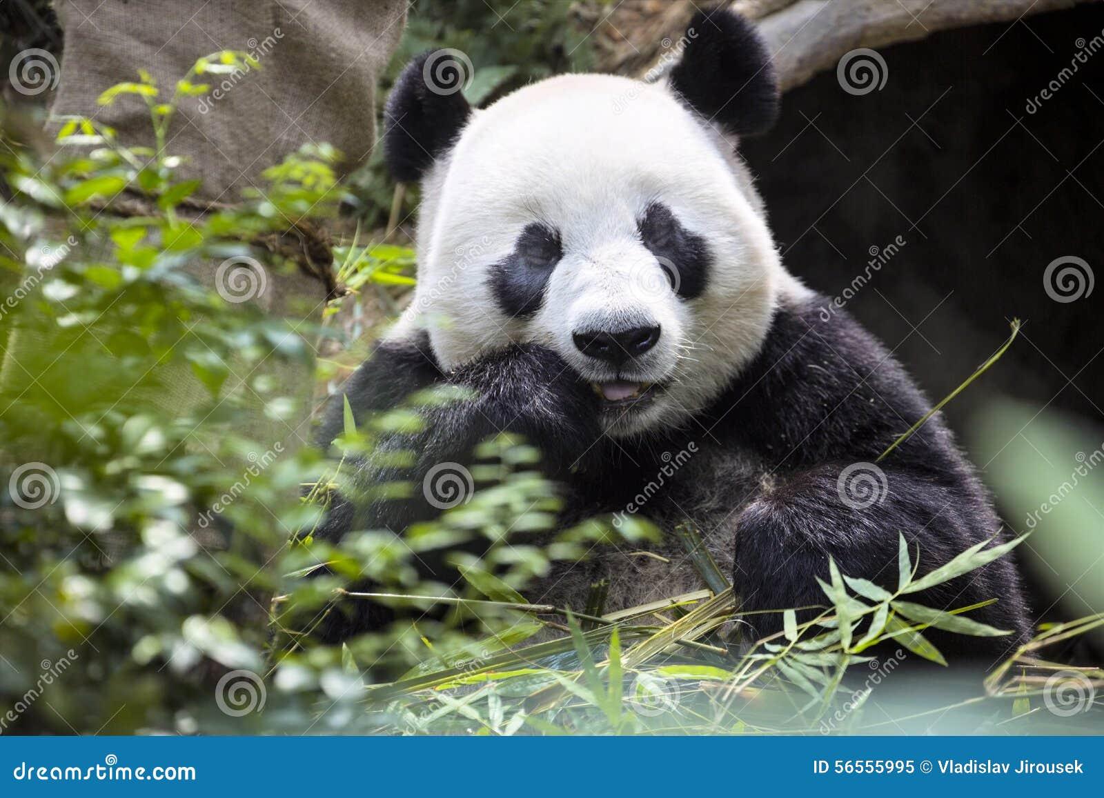 Download Γιγαντιαίο Panda που τρώει το ζωολογικό κήπο Σιγκαπούρη μπαμπού Στοκ Εικόνα - εικόνα από panda, ασία: 56555995