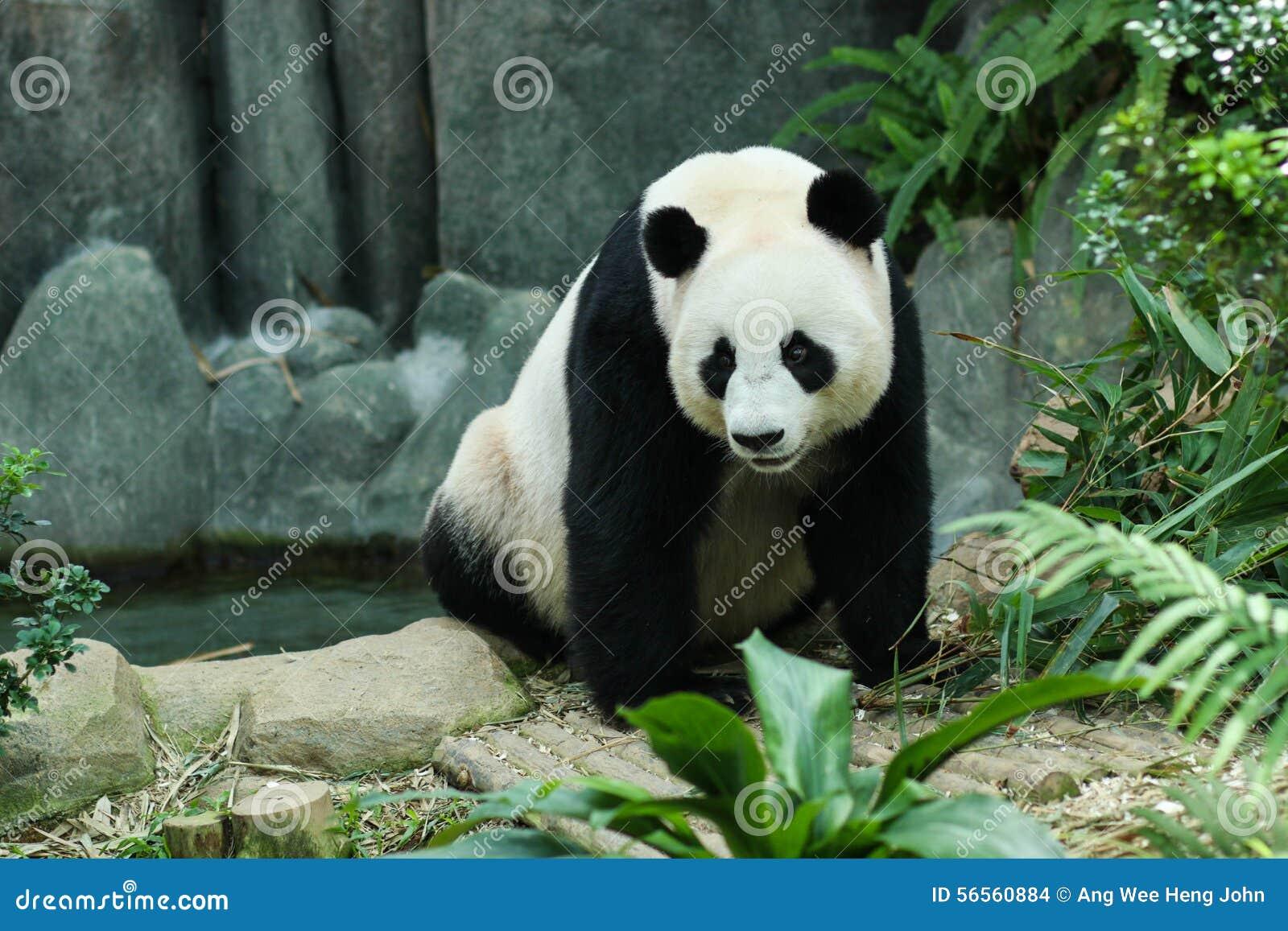 Download γιγαντιαίο panda στοκ εικόνες. εικόνα από αρώματα, brampton - 56560884