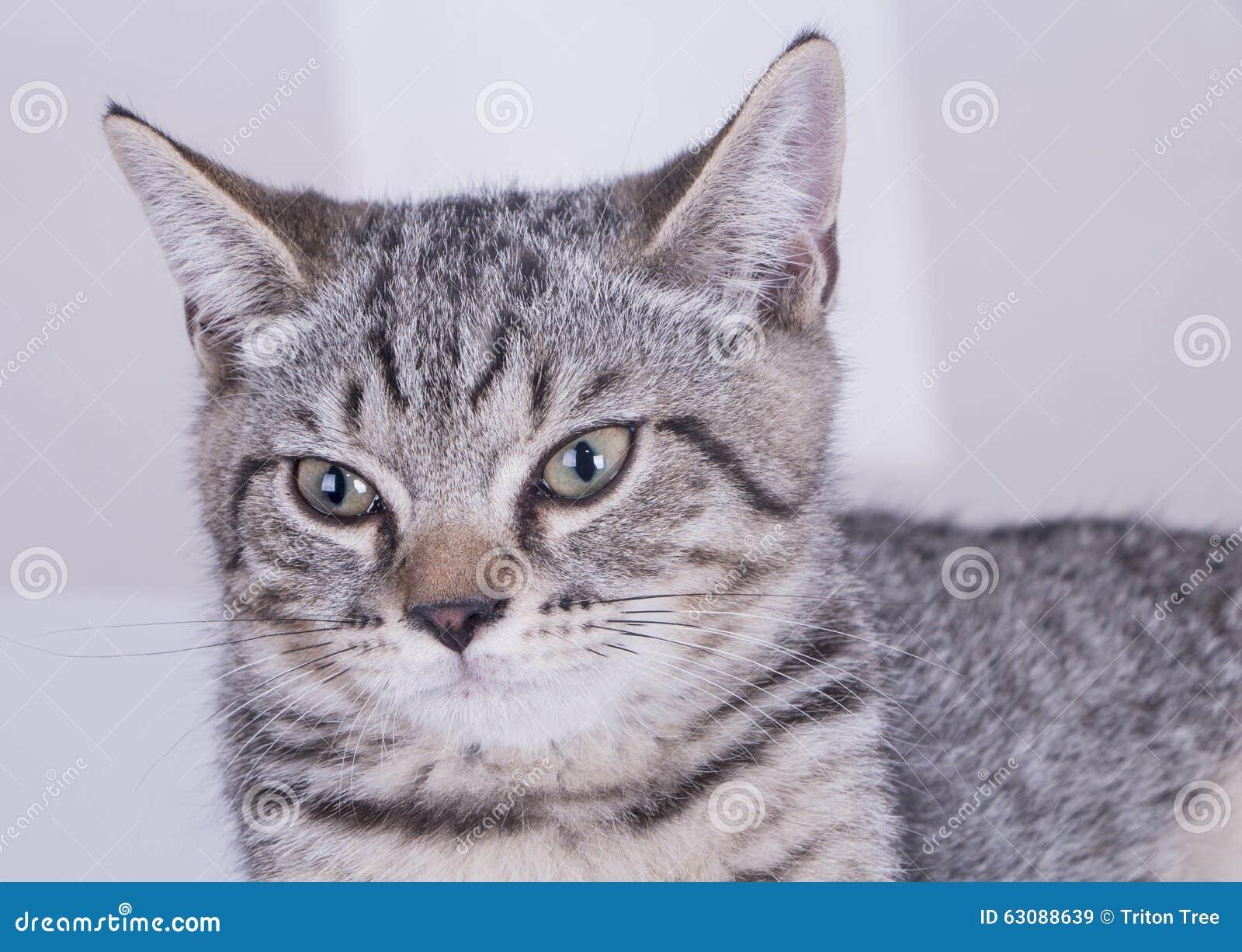Γκρίζα γάτα που κοιτάζει forword