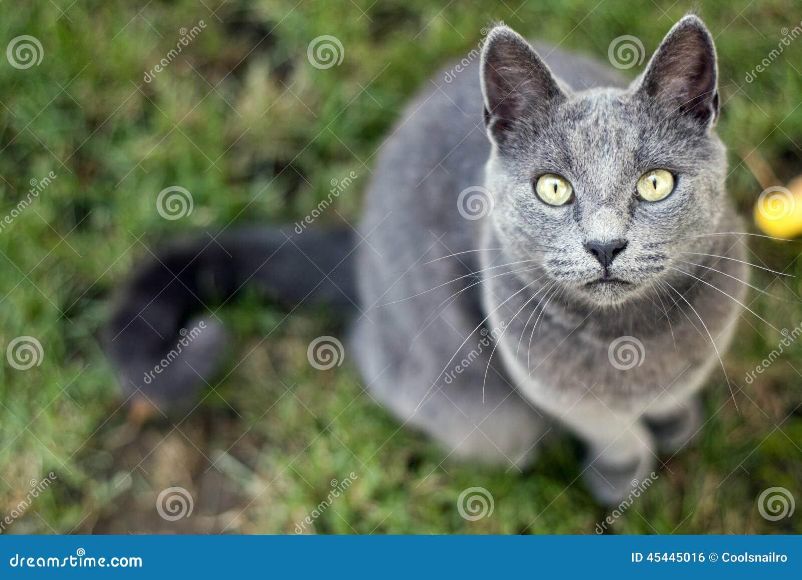 Γκρίζα γάτα