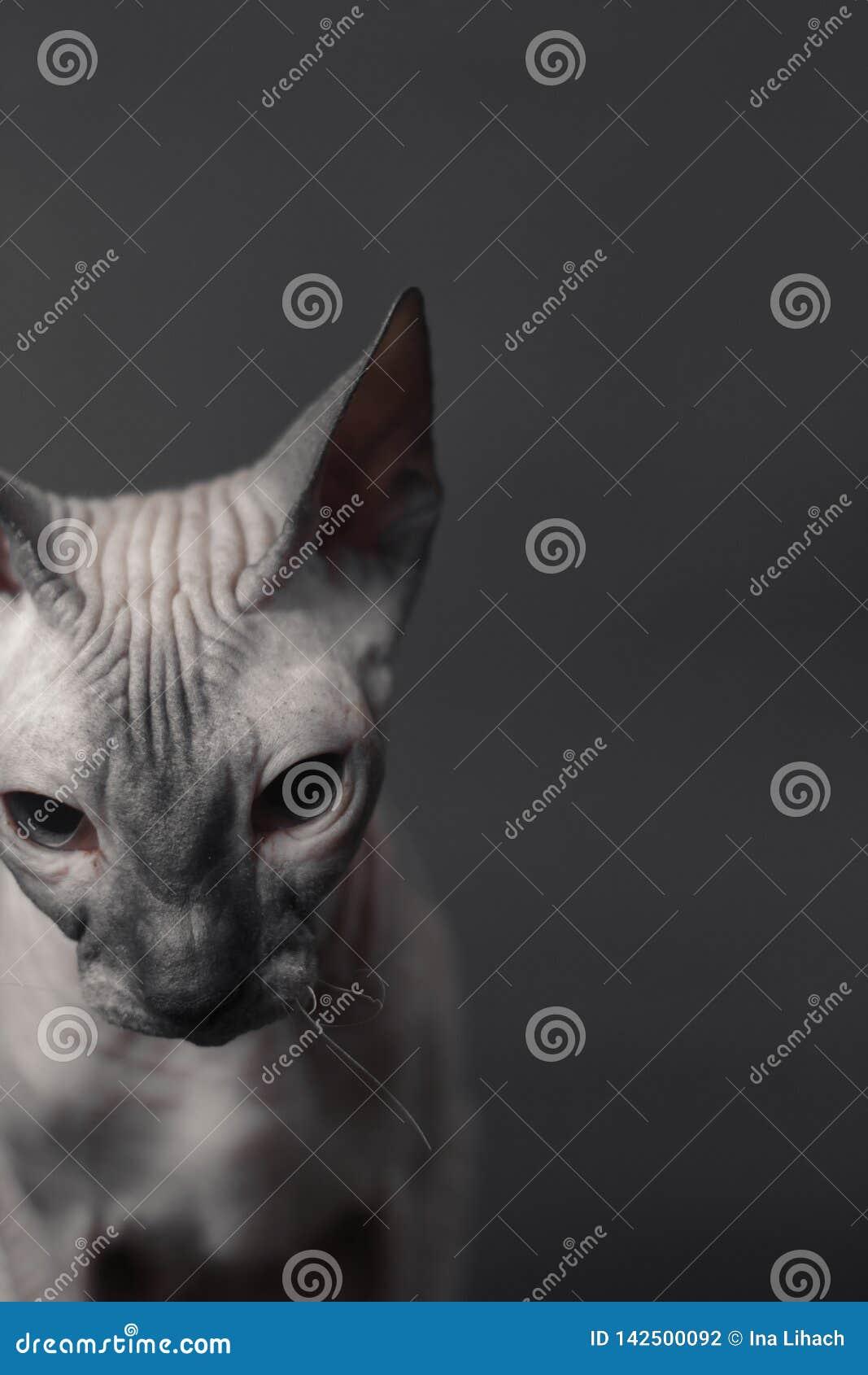 Γκρίζα γάτα Sphynx