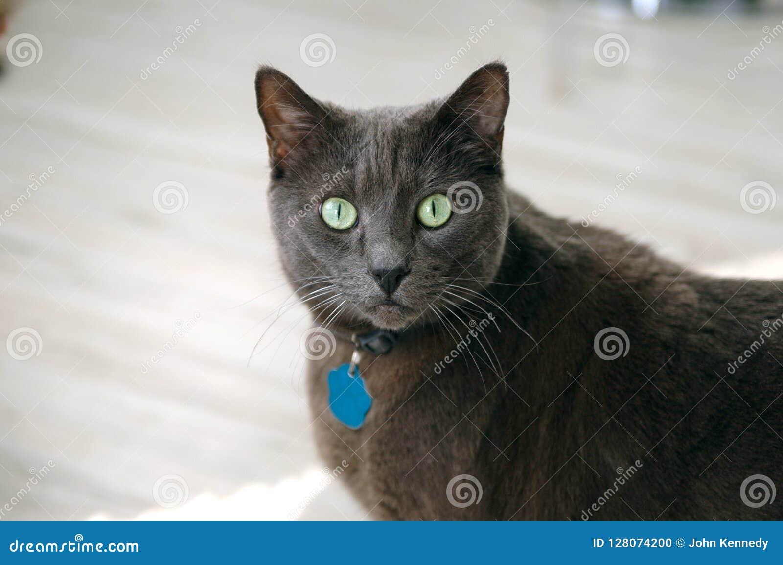 Γκρίζα κοντή γάτα τρίχας με τα πράσινα μάτια