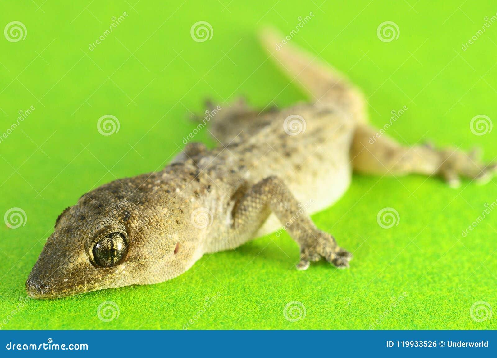 Γκρίζα σαύρα Gecko