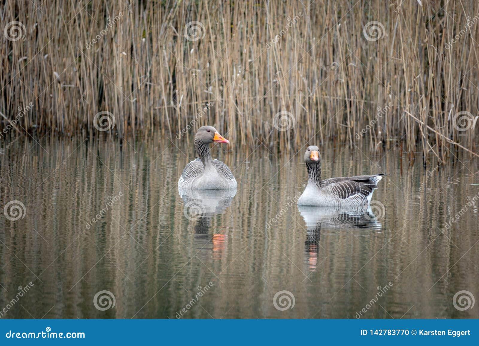 2 γκρίζες χήνες που κολυμπούν σε μια λίμνη