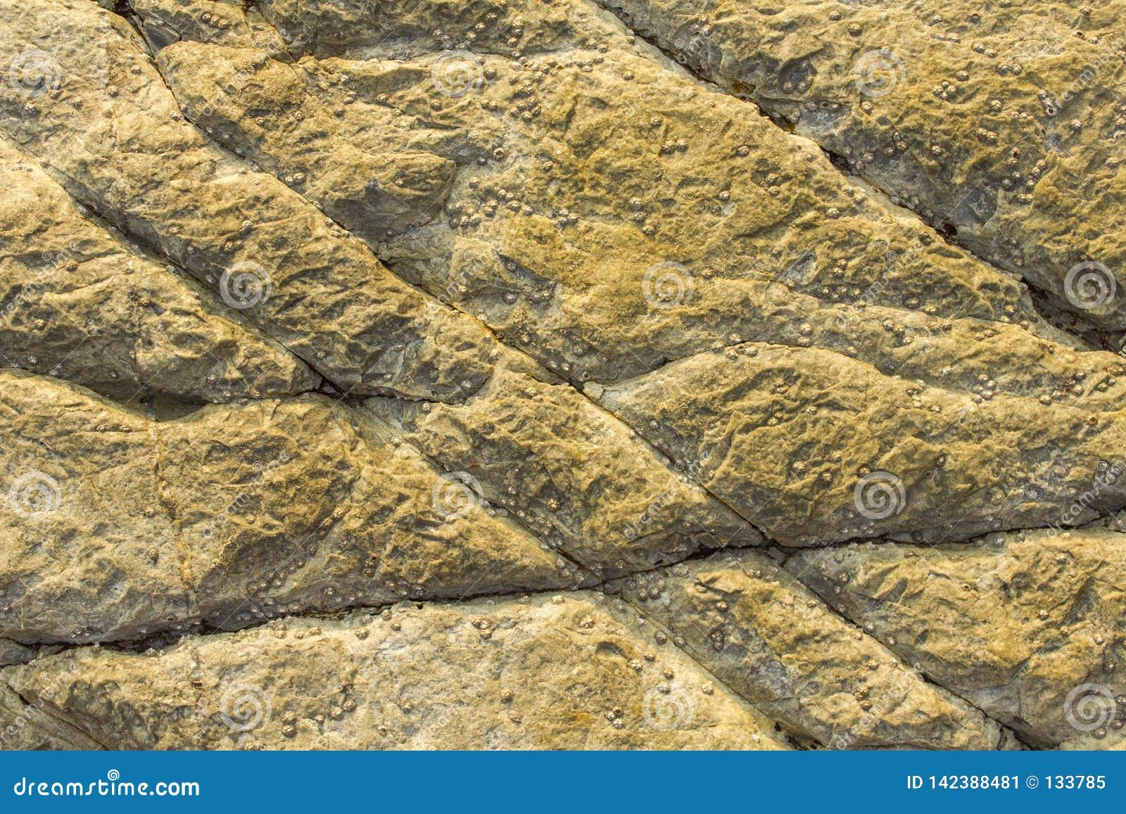 Γκρίζος κίτρινος βράχος με τις μεγάλα ρωγμές και τα θαλασσινά κοχύλια τραχιά φυσική επιφάνεια σύστασης