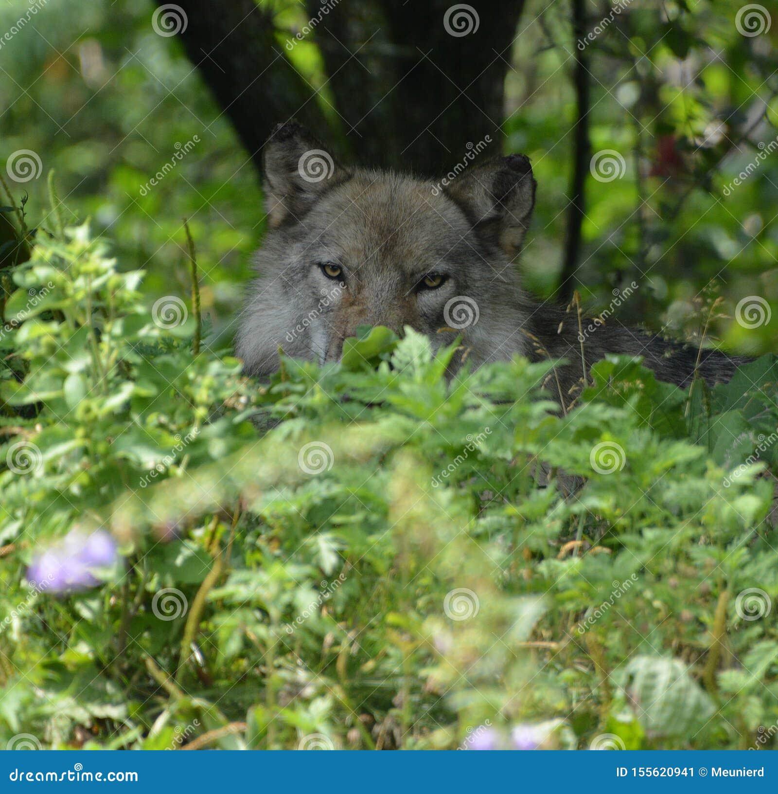 Γκρίζος λύκος ή γκρίζο lupu Canis λύκων