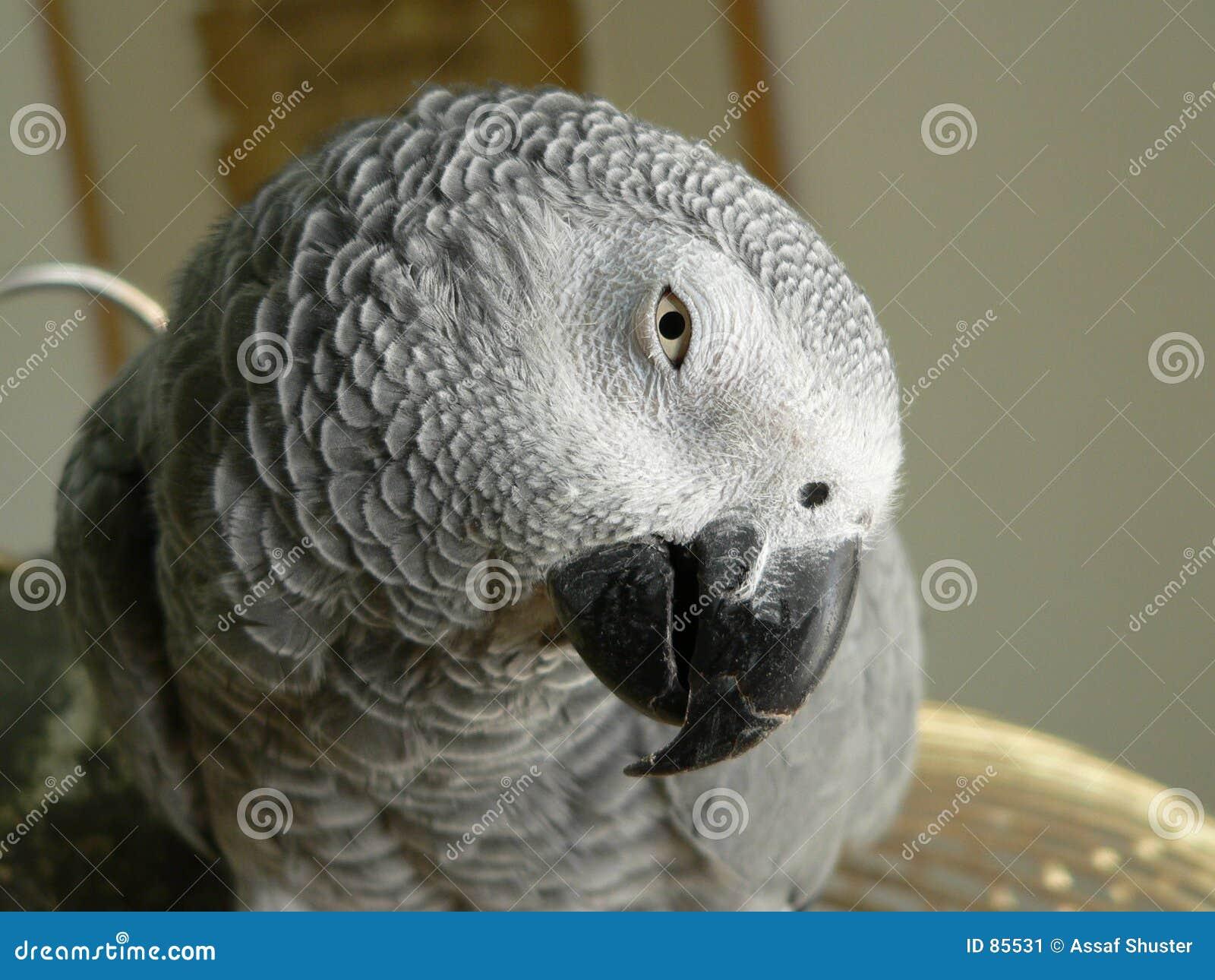 γκρίζος παπαγάλος