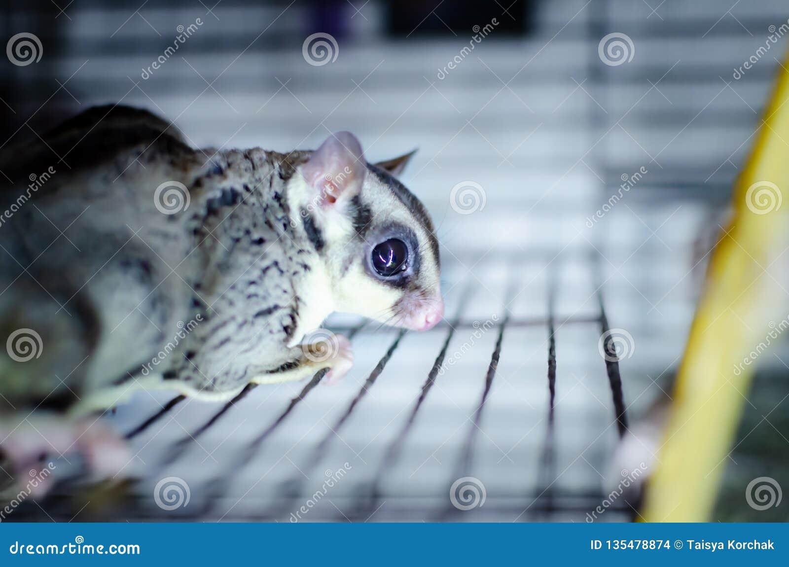 Γκρίζο ανεμοπλάνο ζάχαρης Possum ολίσθησης Petaurus breviceps δενδρικό Εξωτικά ζώα στο ανθρώπινο περιβάλλον