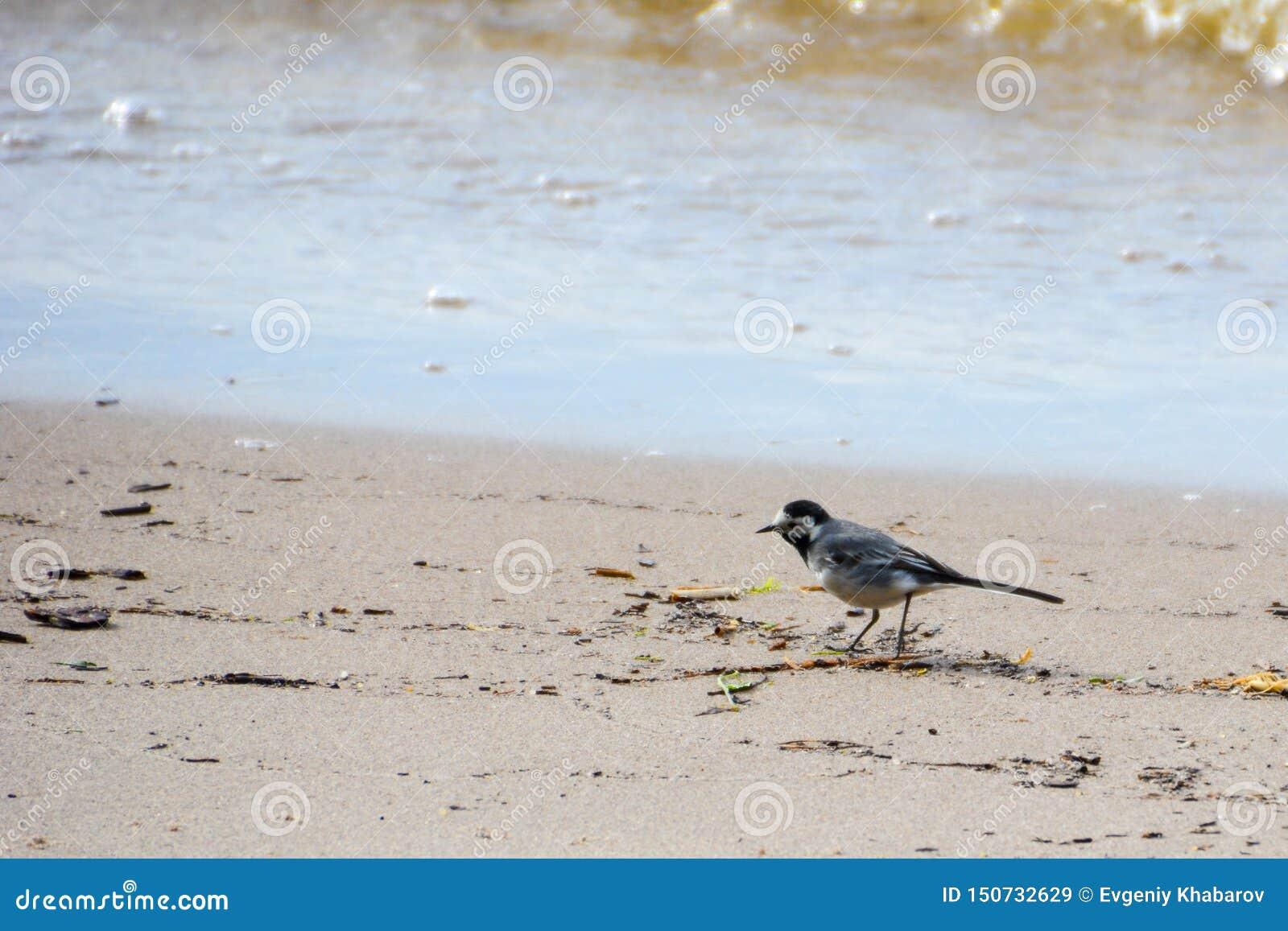 Γκρίζο wagtail στην ακτή