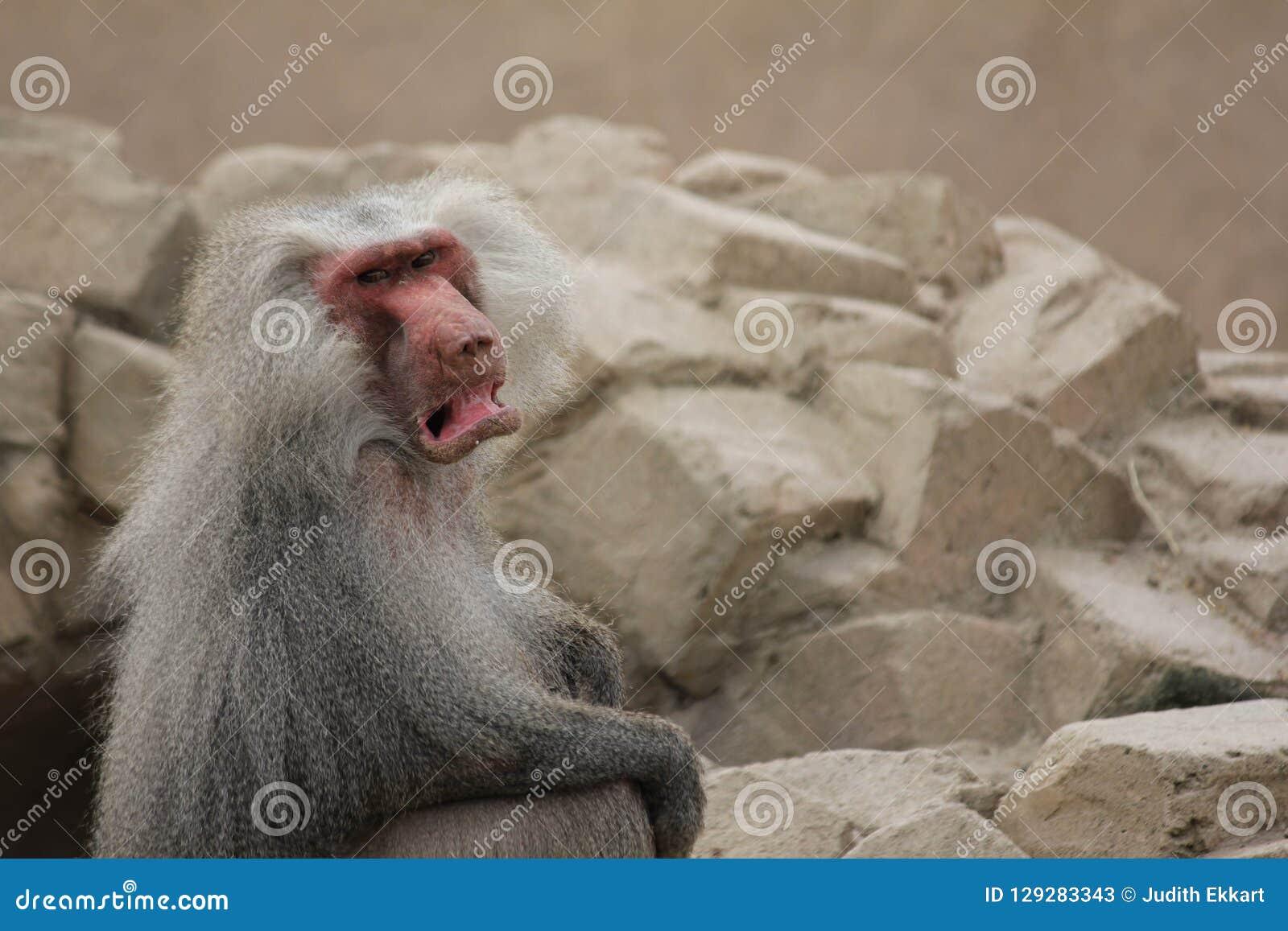 0, γκρινιάρης Baboon μανδυών πίθηκος με πολύ κενό υπόβαθρο