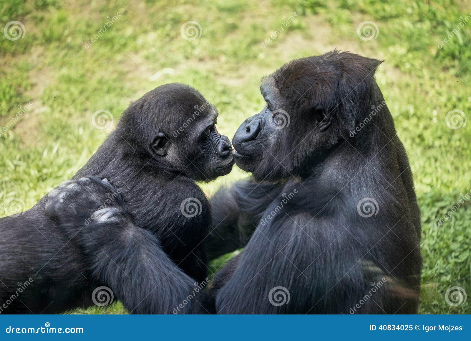 Γορίλλας μωρών με τη μητέρα