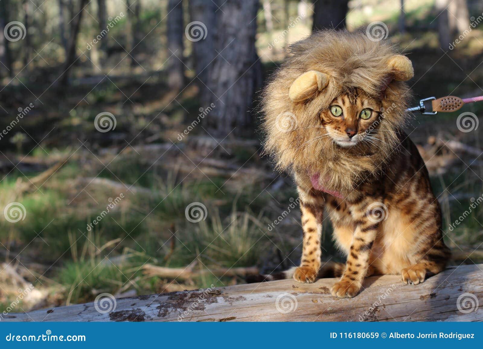 Γούνινος λίγος βασιλιάς της ζούγκλας