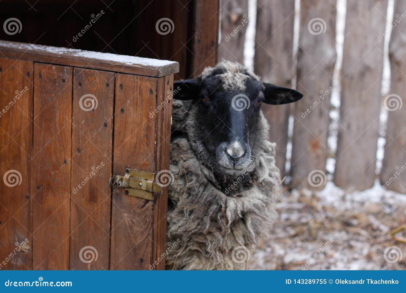 Γραπτά πρόβατα κοντά στη σιταποθήκη