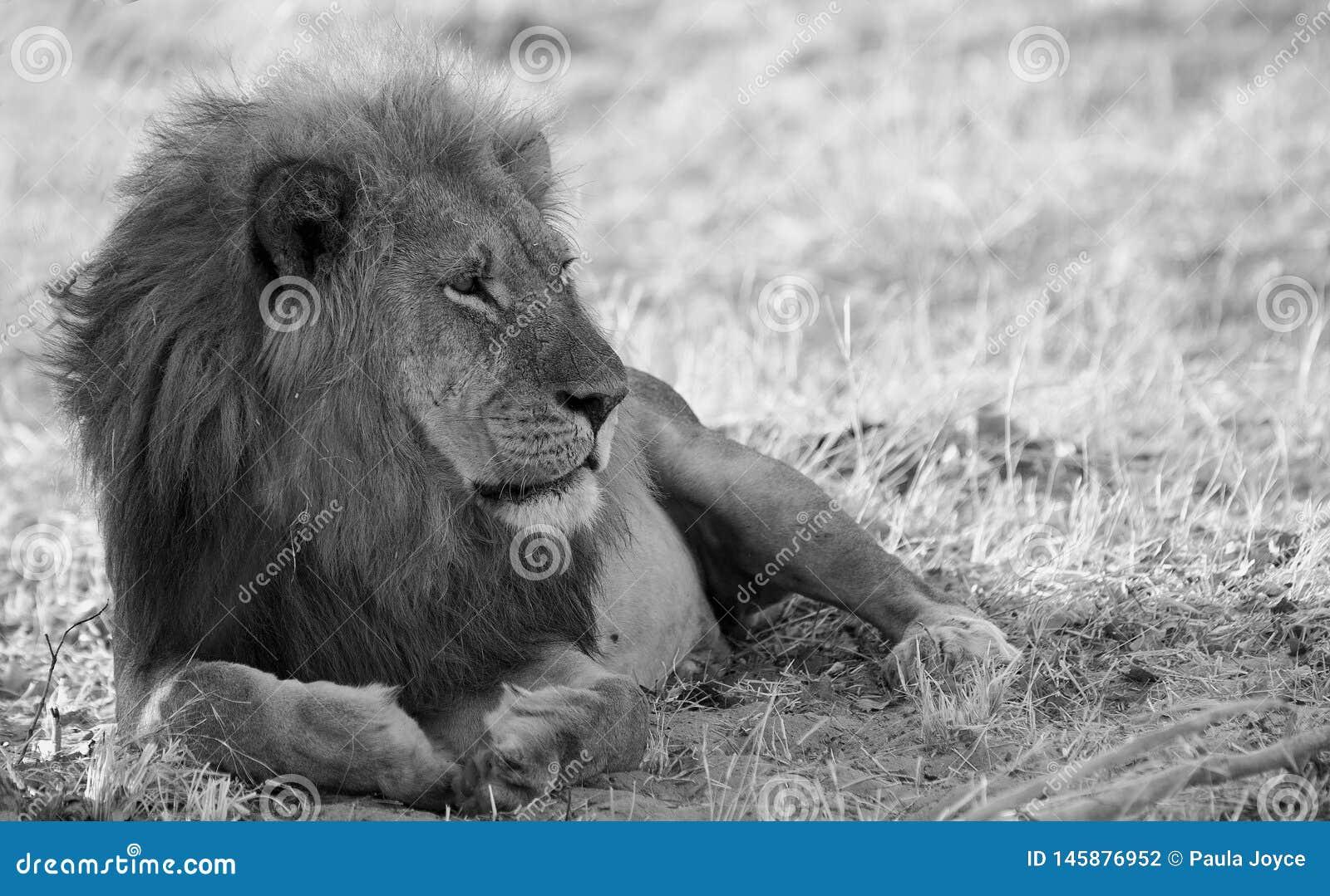 Γραπτή εικόνα ενός αρσενικού αφρικανικού λιονταριού με έναν όμορφο Μάιν, που στηρίζεται στις πεδιάδες στο εθνικό πάρκο Hwange
