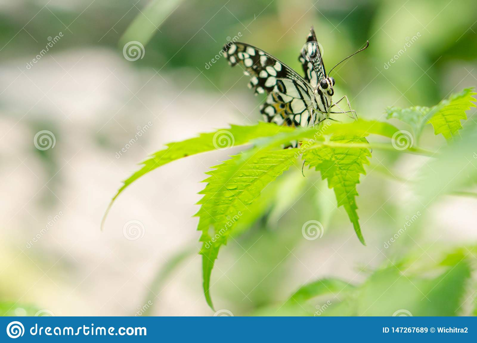 Γραπτή πεταλούδα κινηματογραφήσεων σε πρώτο πλάνο στο θολωμένο πράσινο υπόβαθρο φύλλων