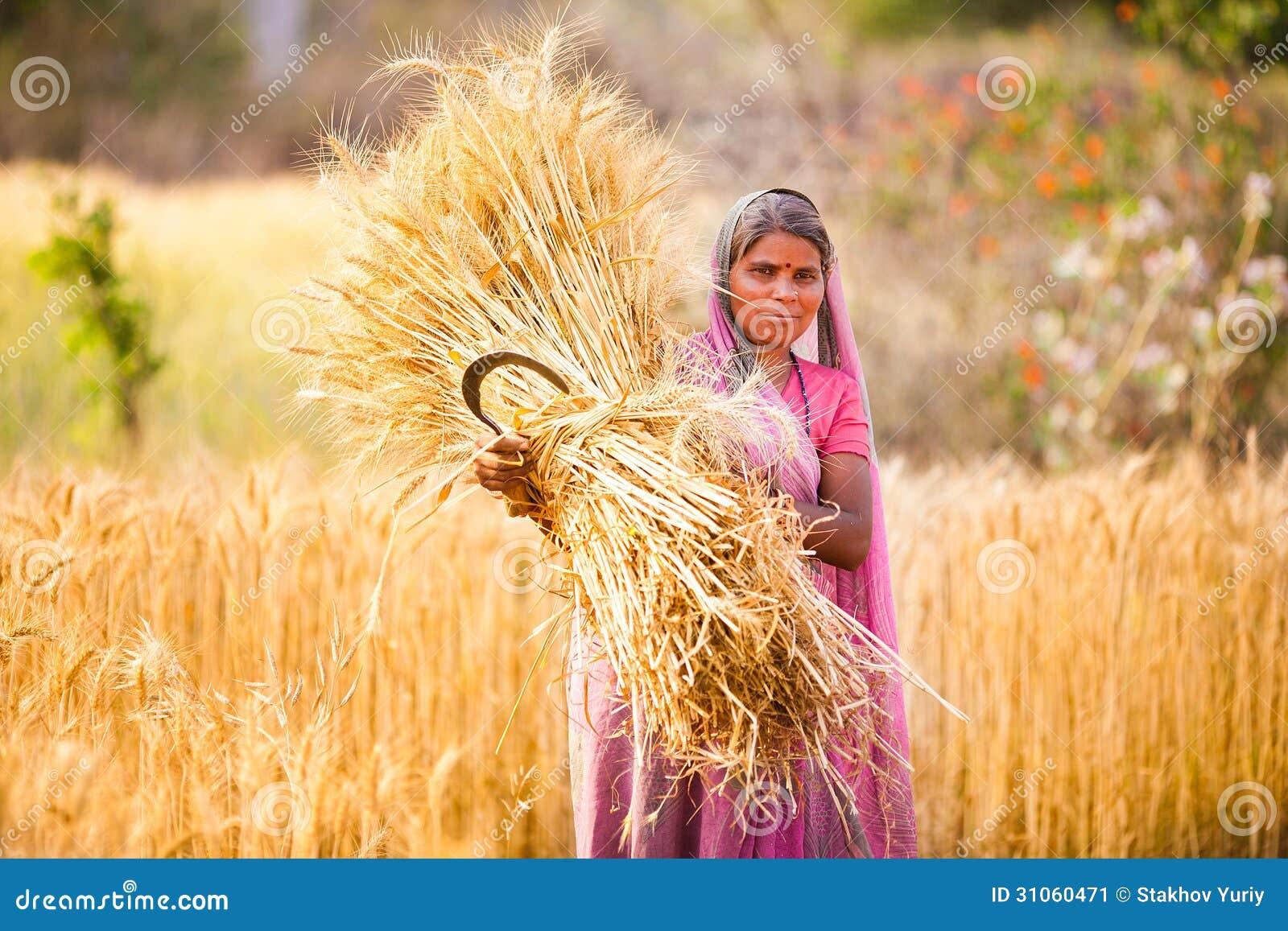 Γυναίκα στο σίτο συγκομιδών της Ινδίας