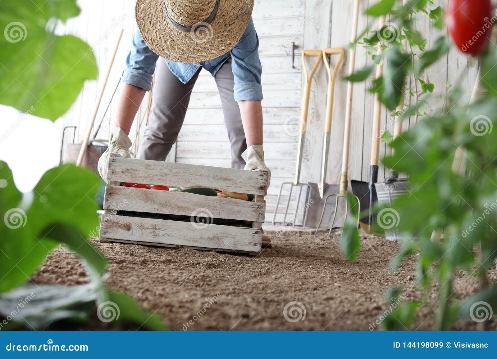 Γυναίκα στο φυτικό κήπο που κρατά το ξύλινο κιβώτιο με τα αγροτικά λαχανικά Συγκομιδή φθινοπώρου και υγιής οργανική τροφή