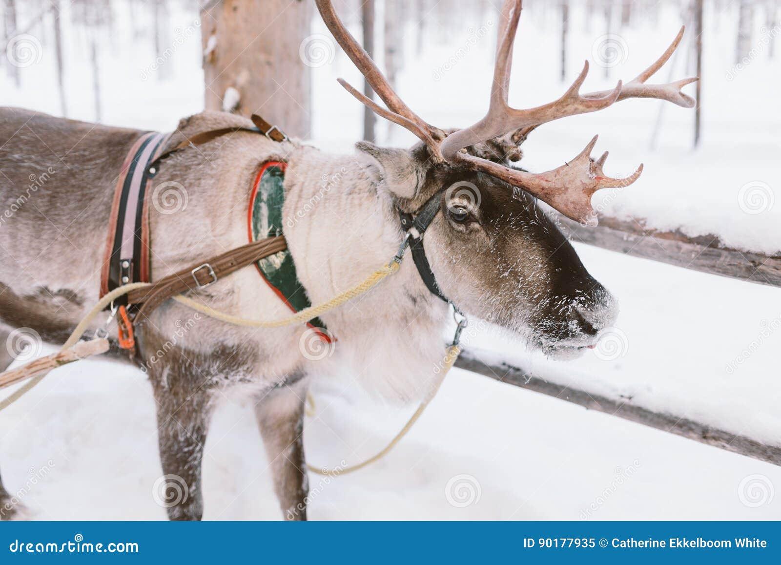 Γύρος ελκήθρων ταράνδων στο Lapland