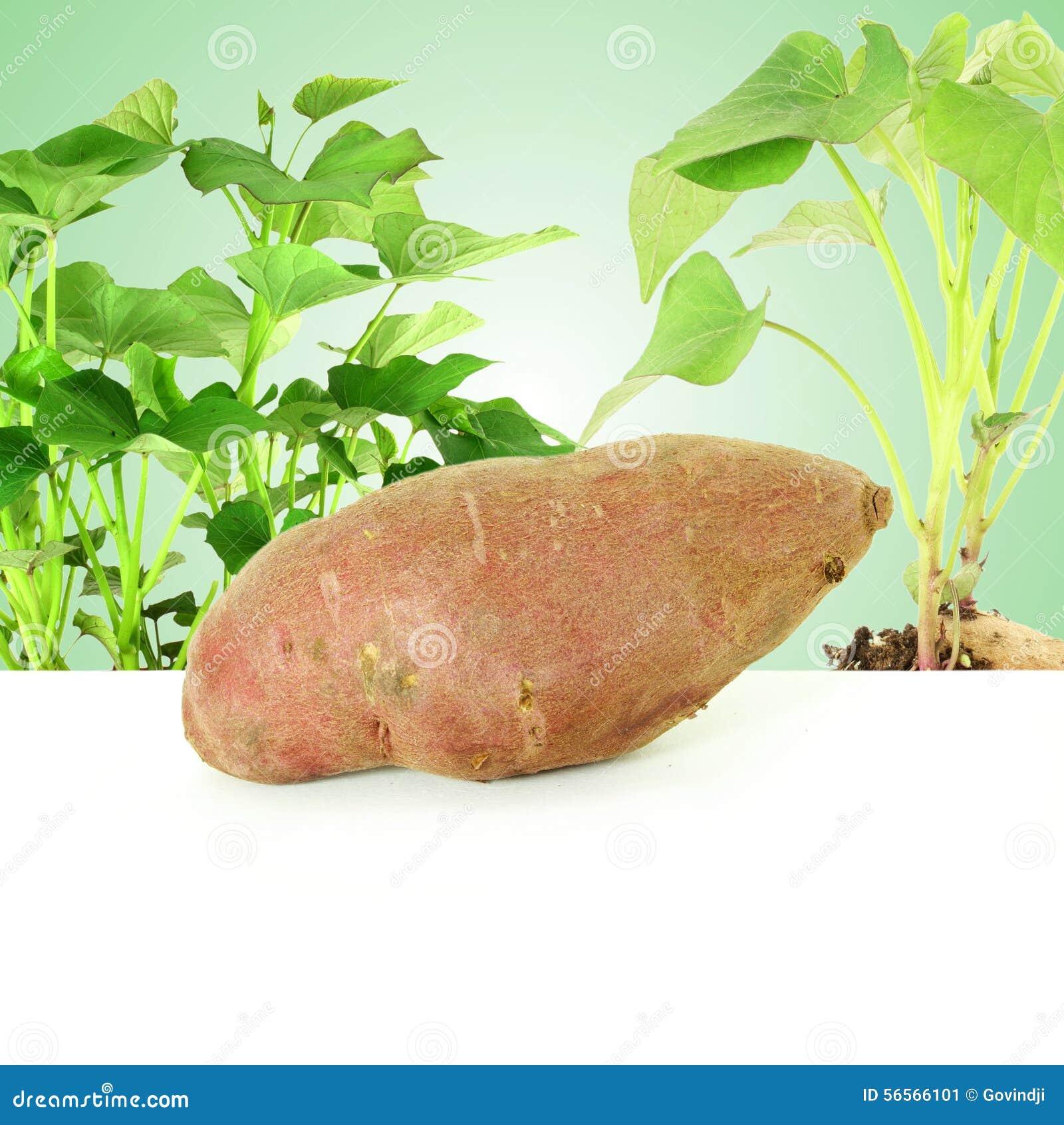 Download γλυκιά πατάτα με την ανάπτυξη των εγκαταστάσεων στο πράσινο υπόβαθρο Στοκ Εικόνα - εικόνα από χορτάρι, φαγόπυρου: 56566101
