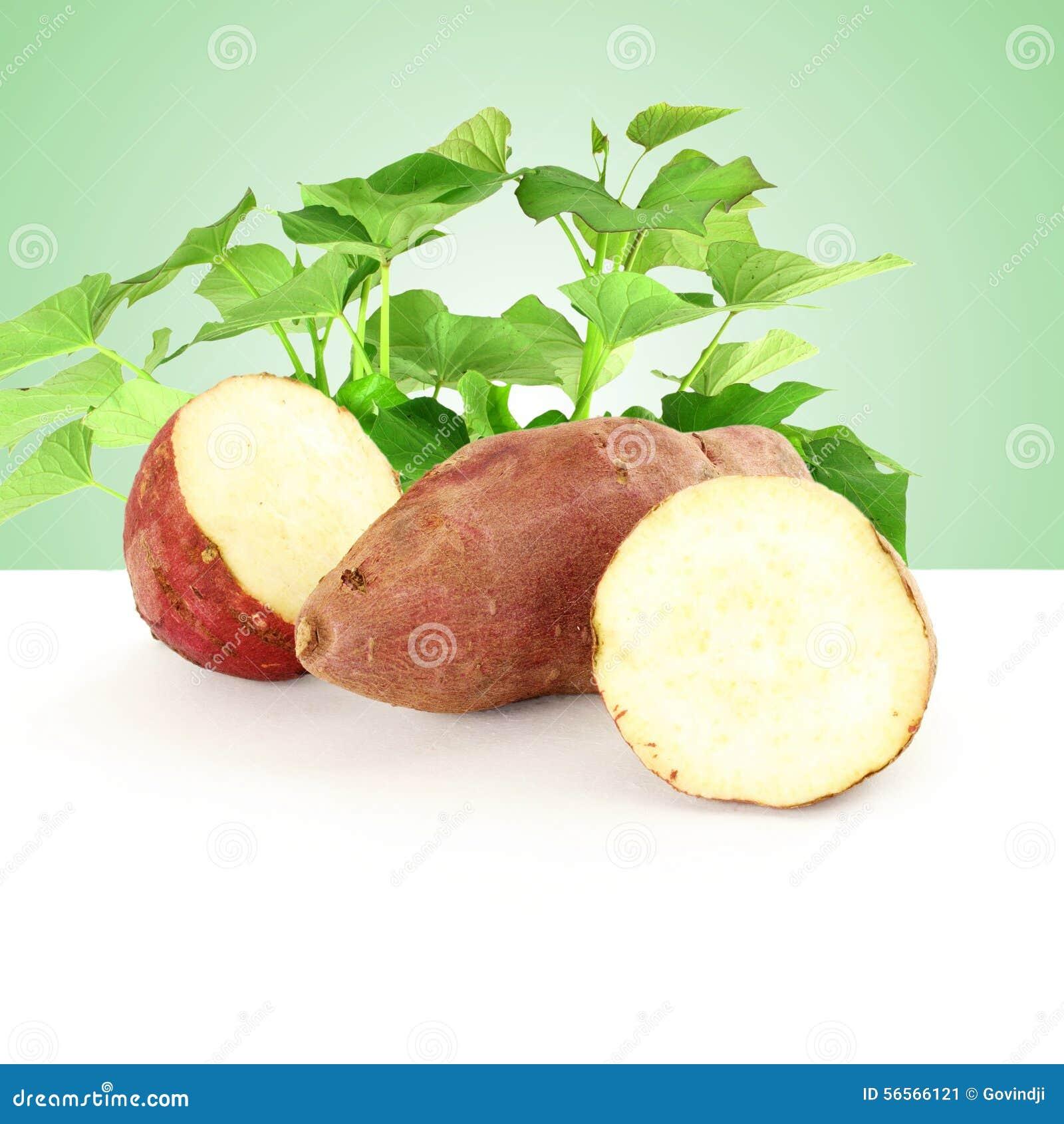 Download γλυκιά πατάτα με την ανάπτυξη των εγκαταστάσεων στο πράσινο υπόβαθρο Στοκ Εικόνα - εικόνα από closeup, κήπος: 56566121