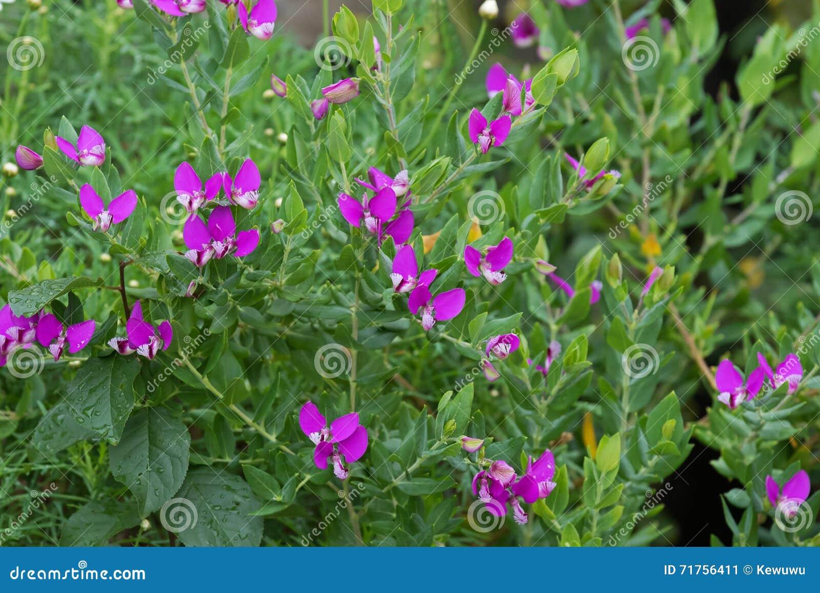 Γλυκός θάμνος μπιζελιών στον κήπο τα πορφυρά ιώδη λουλούδια, που αυξάνονται με στο Α