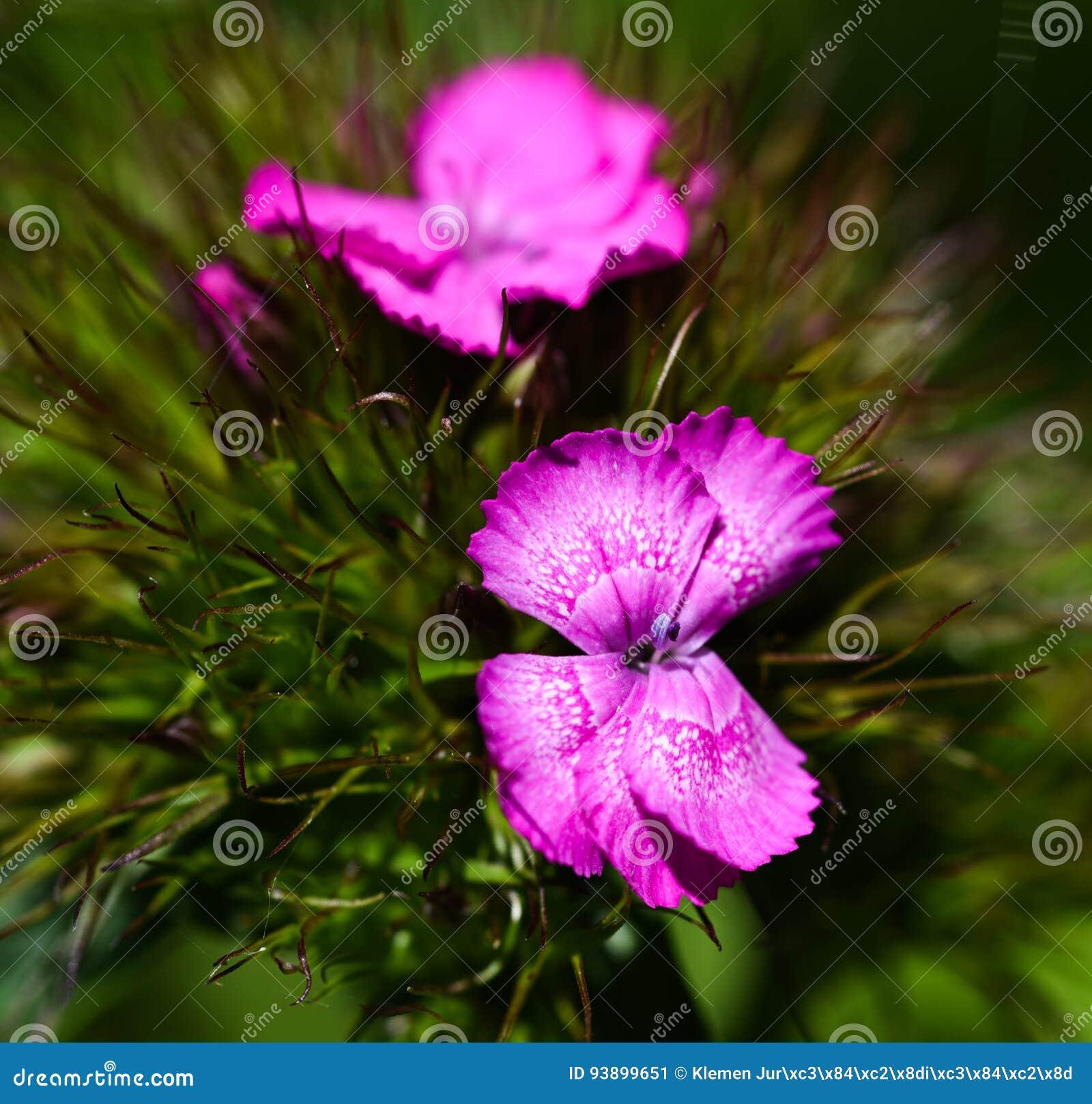 Γλυκό λουλούδι William