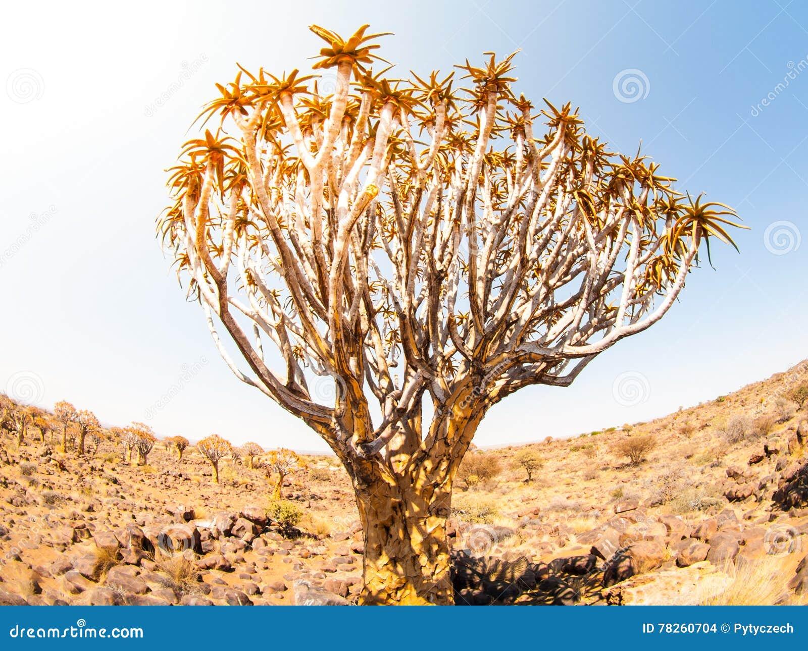 Δάσος δέντρων ρίγου στη Ναμίμπια