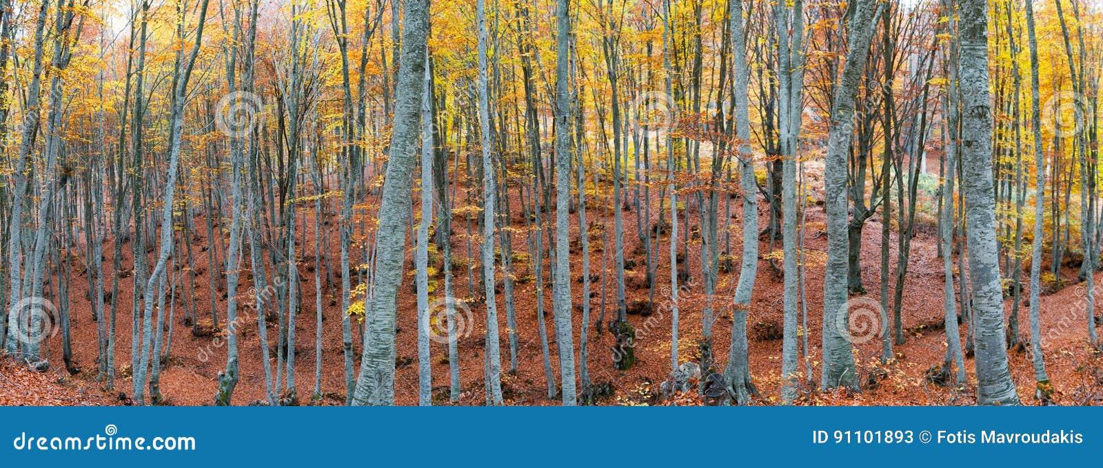 Δάσος οξιών το φθινόπωρο