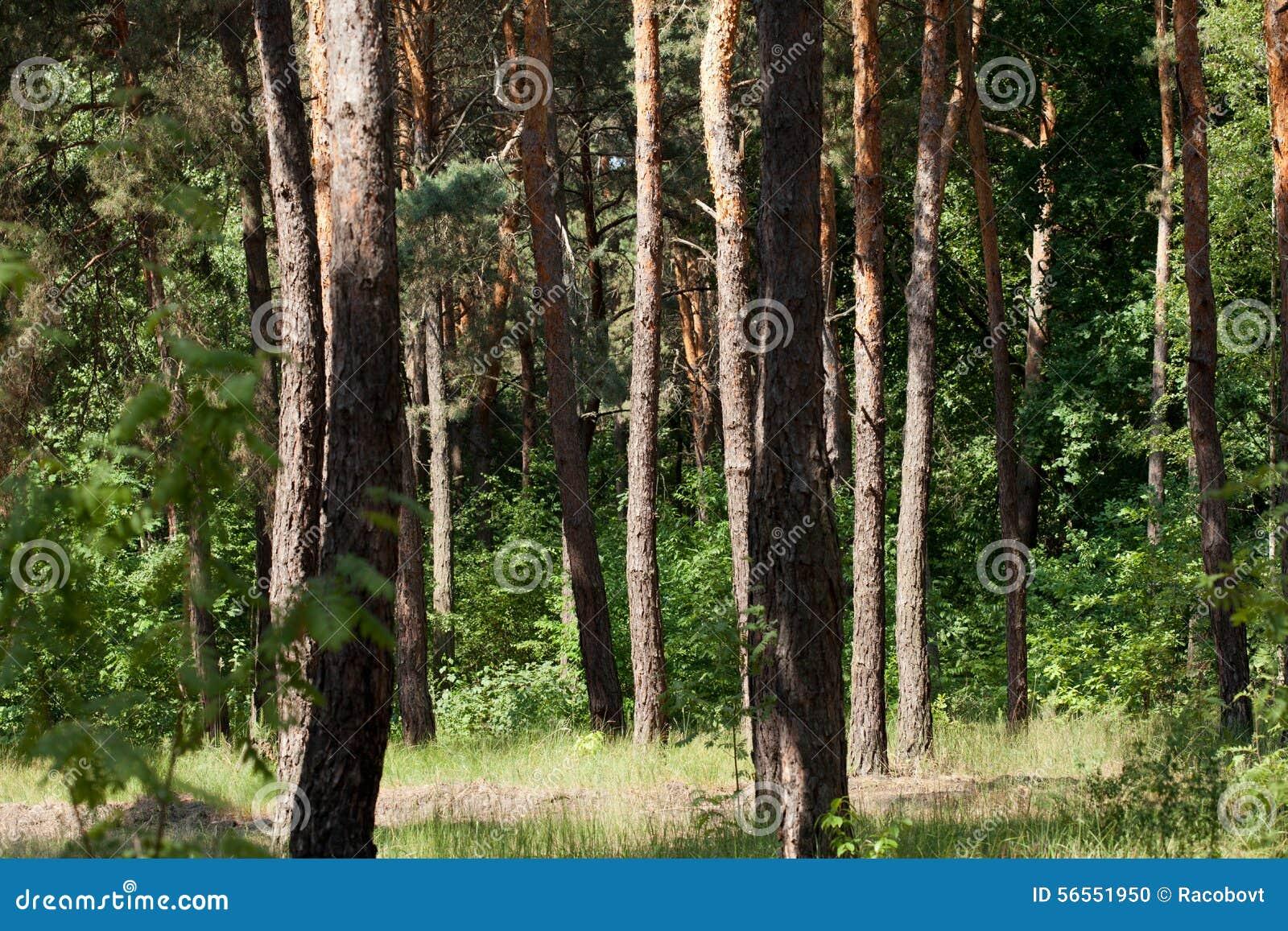 Download Δάσος πεύκων στοκ εικόνες. εικόνα από πράσινος, κενός - 56551950