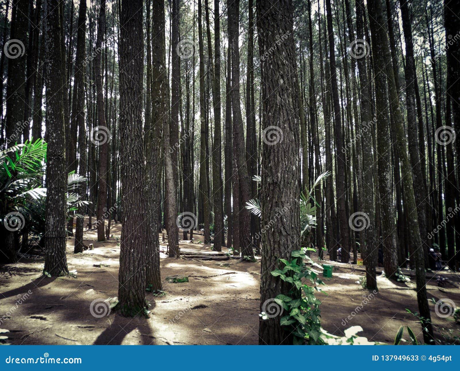 Δάσος πεύκων, Yogyakarta, Ινδονησία