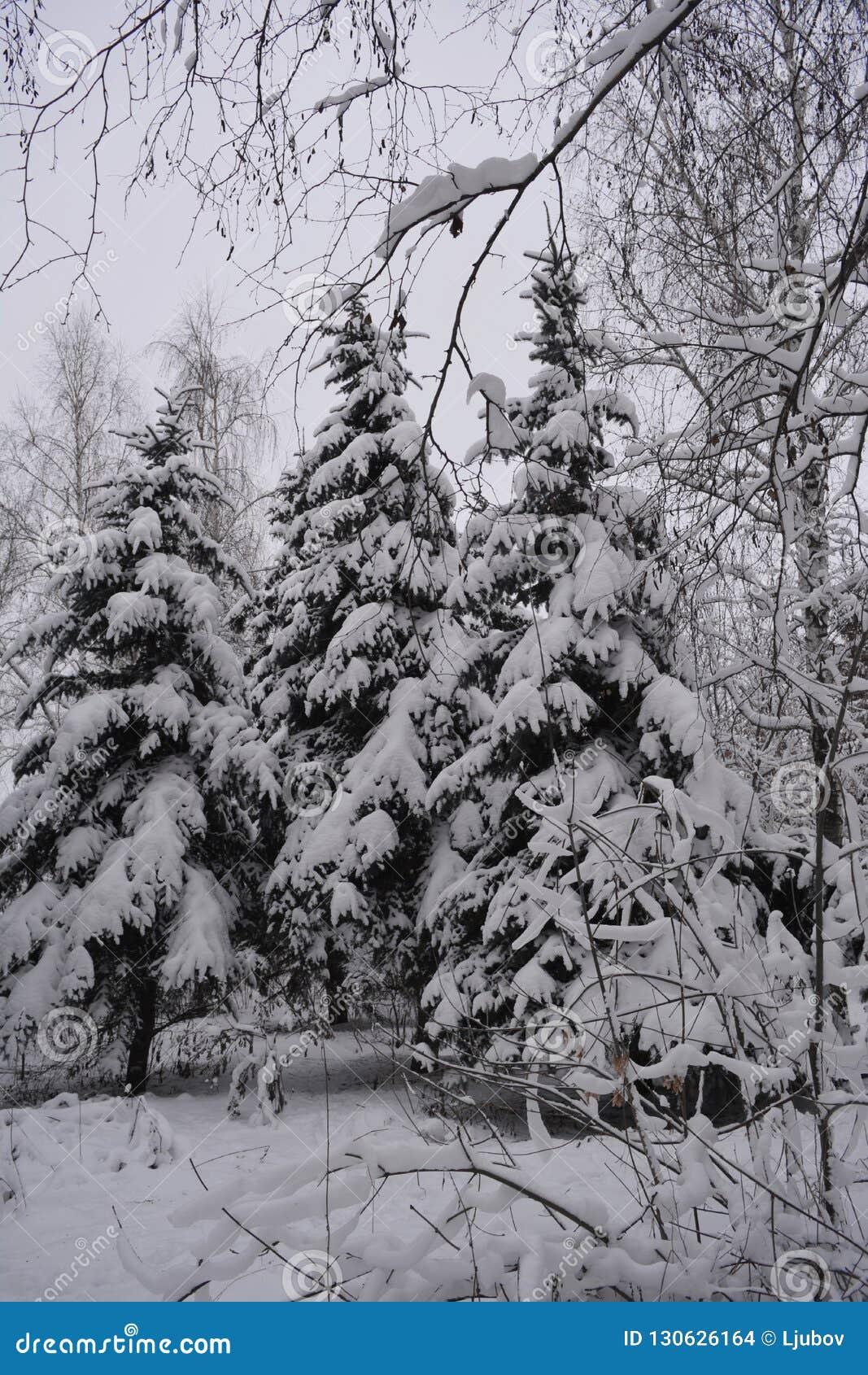Δάσος στο χιόνι χειμώνας της Ρωσίας Χιονώδεις ερυθρελάτες στη συννεφιάζω ημέρα