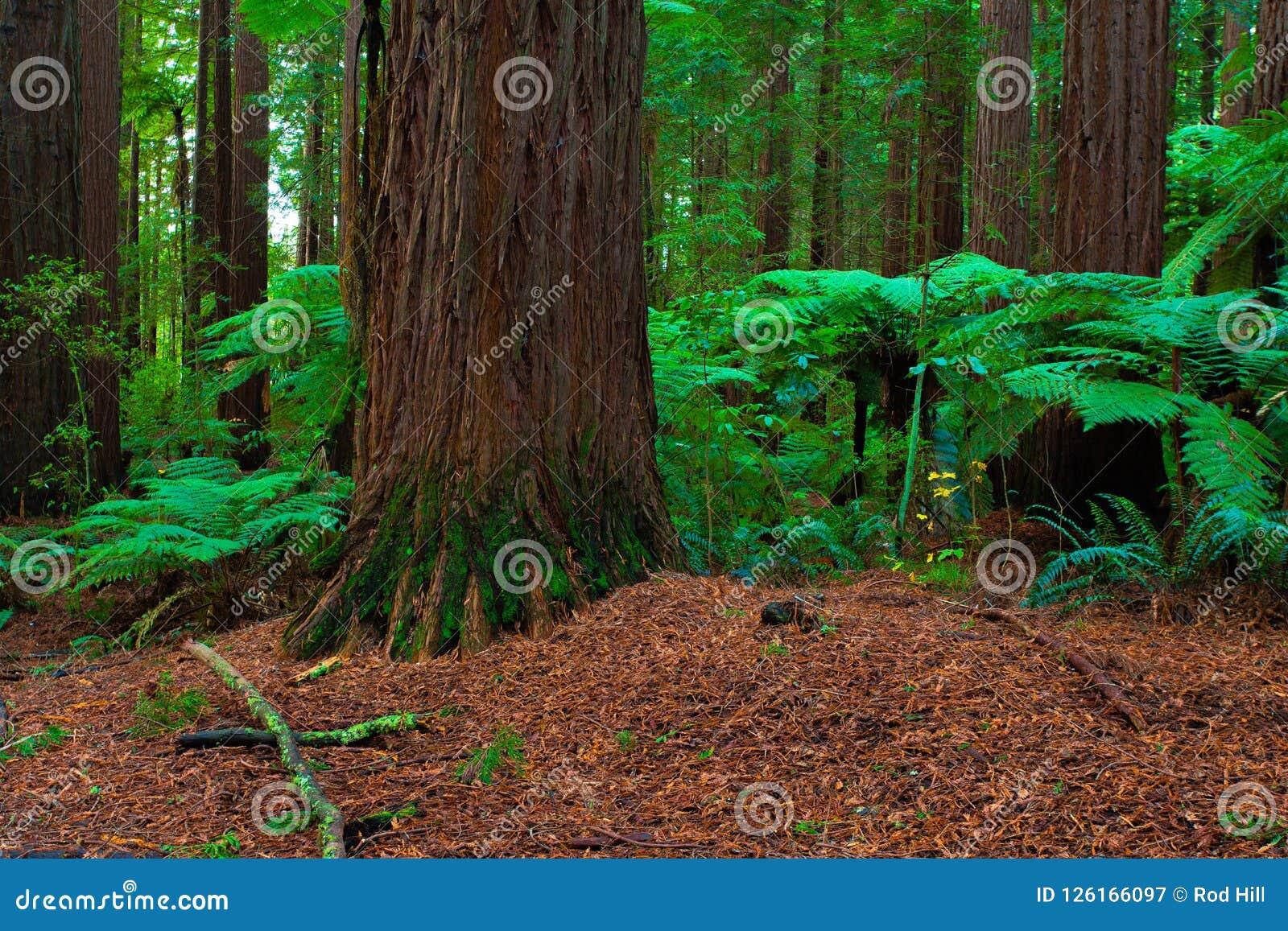 Δάσος Redwoods σε Rotorua