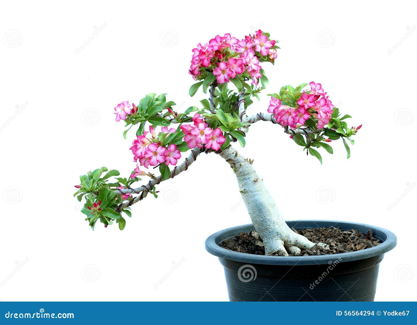 Download Δέντρα αζαλεών στα δοχεία στοκ εικόνες. εικόνα από ζαρντινιέρα - 56564294
