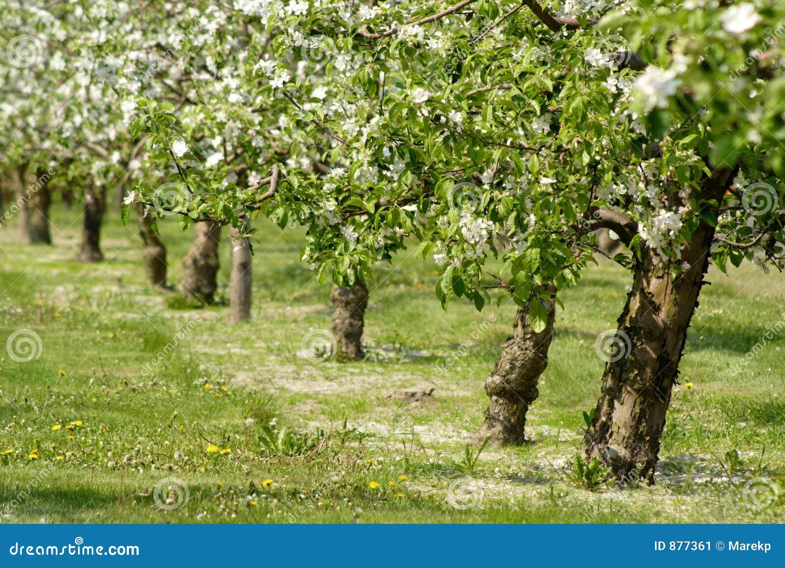 δέντρα ανθών μήλων