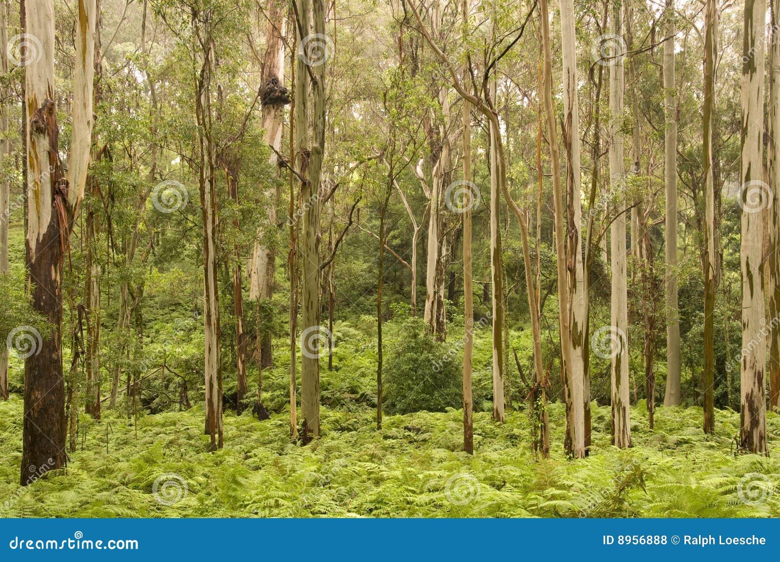 δέντρα γόμμας
