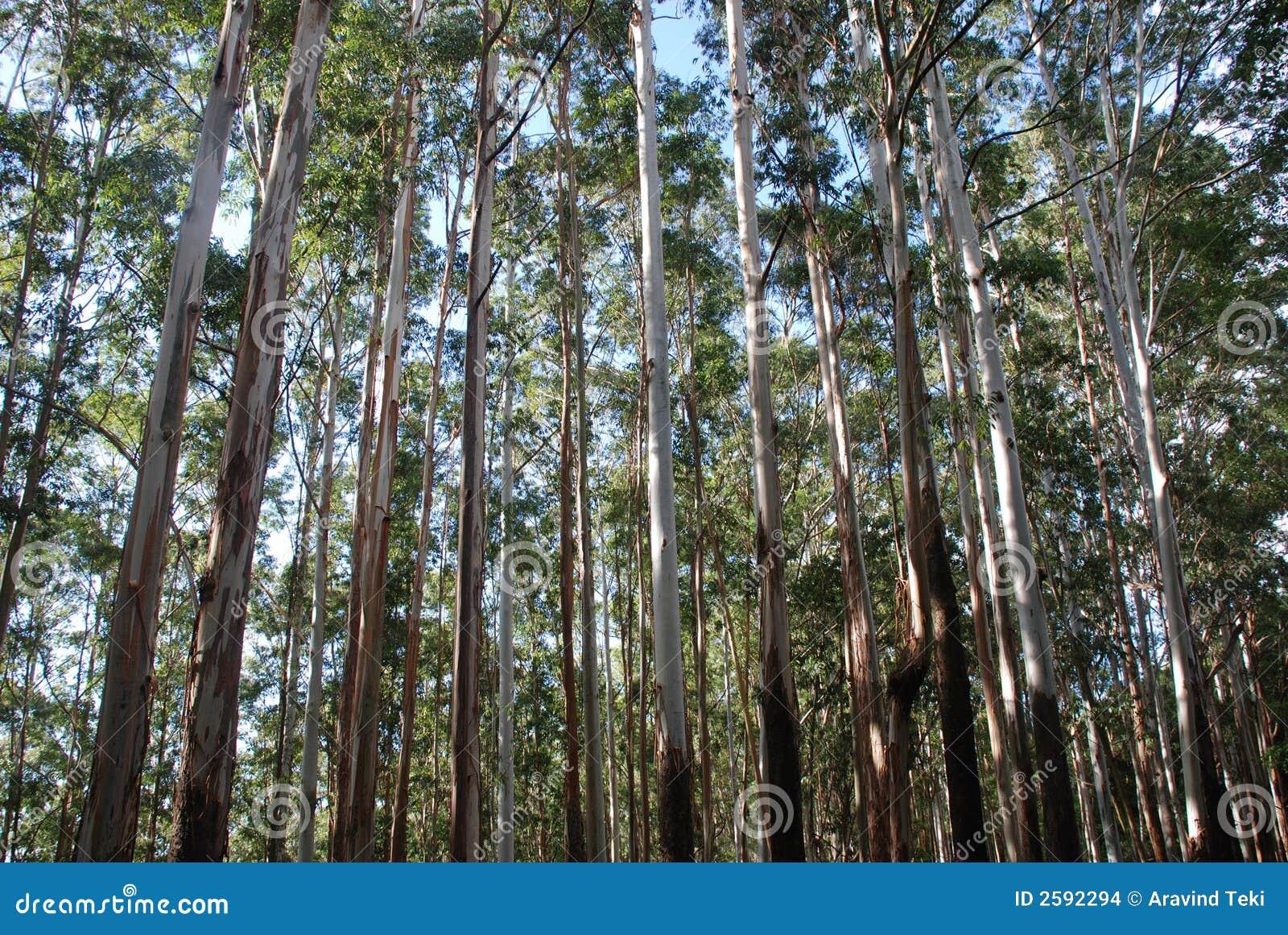 δέντρα ευκαλύπτων