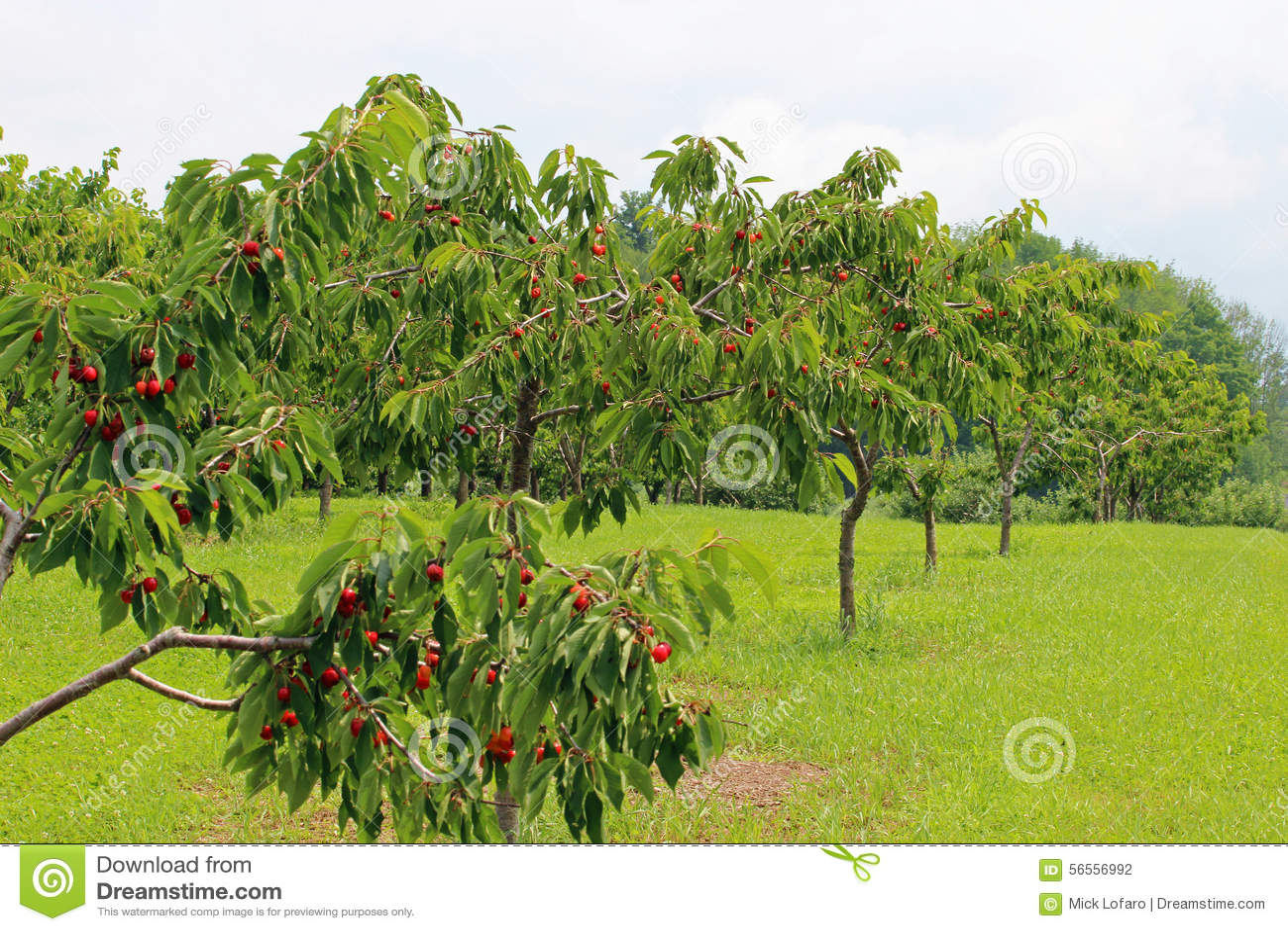 Download Δέντρα κερασιών στοκ εικόνες. εικόνα από άκρα, φύλλα - 56556992