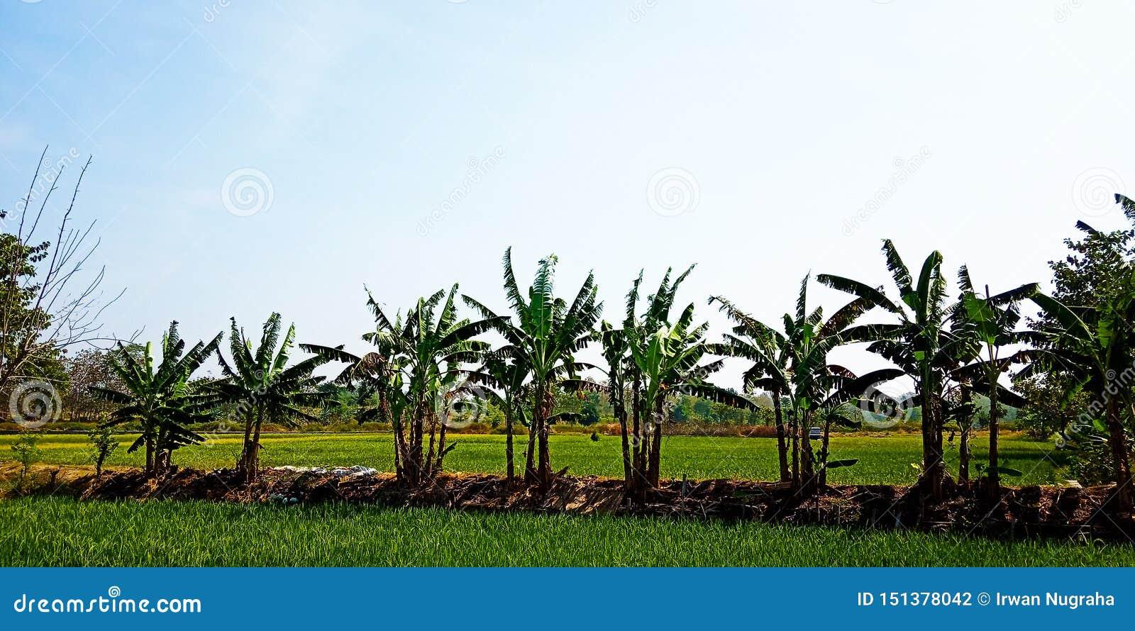 Δέντρα μπανανών στην άκρη των τομέων ρυζιού