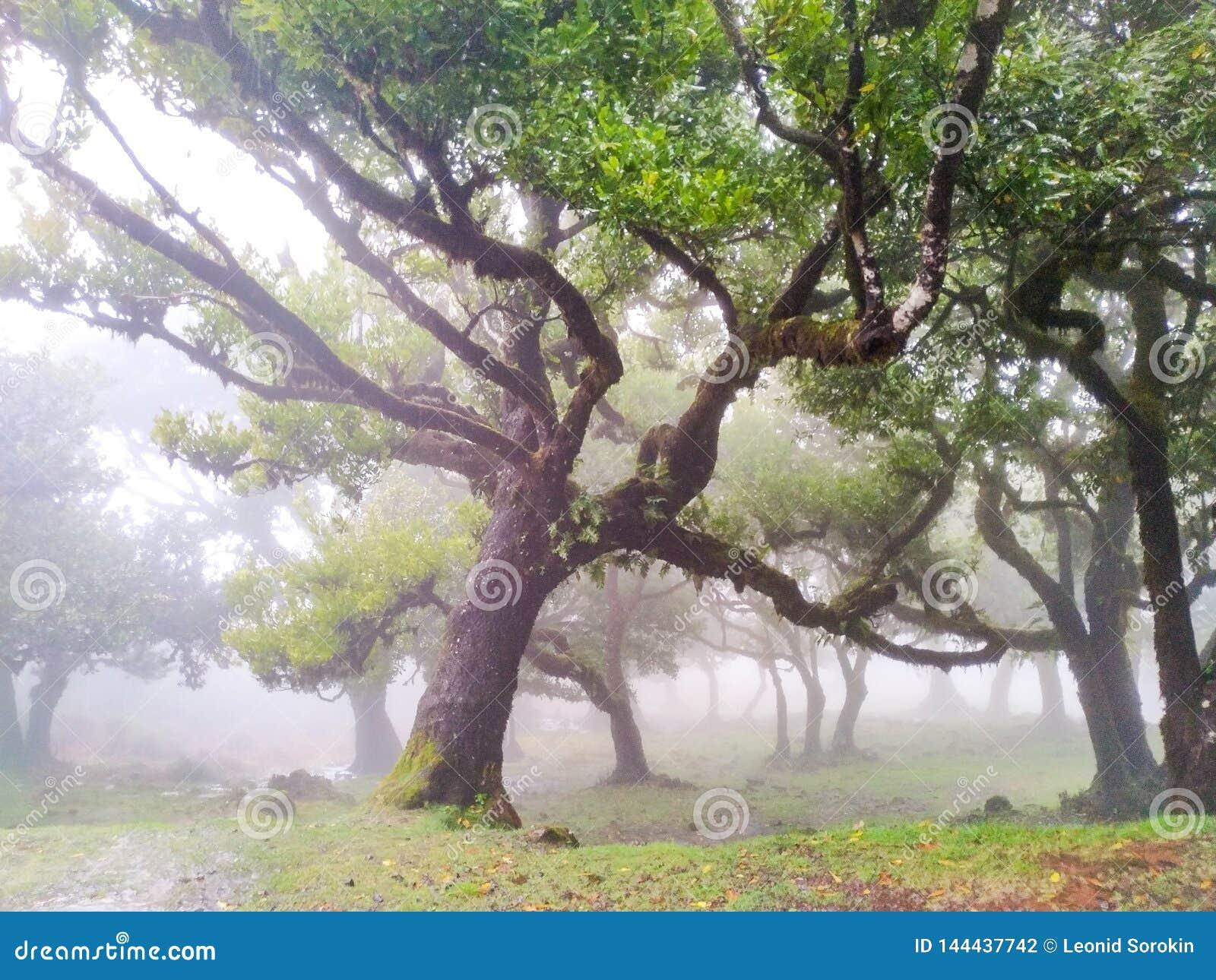 Δέντρα νεράιδων στην ομίχλη και βροχή, δάσος δαφνών στη Μαδέρα