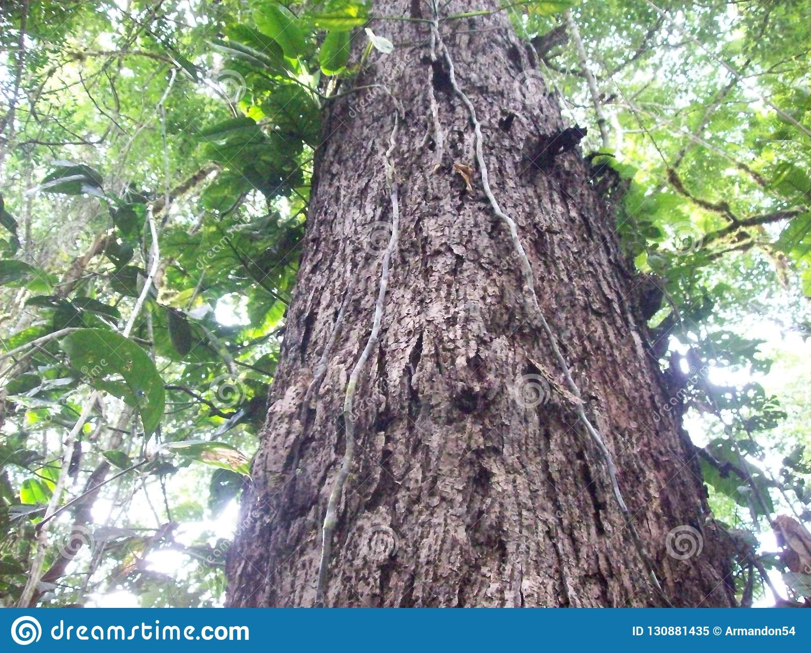 Δέντρα ξυλείας στην περουβιανή ζούγκλα