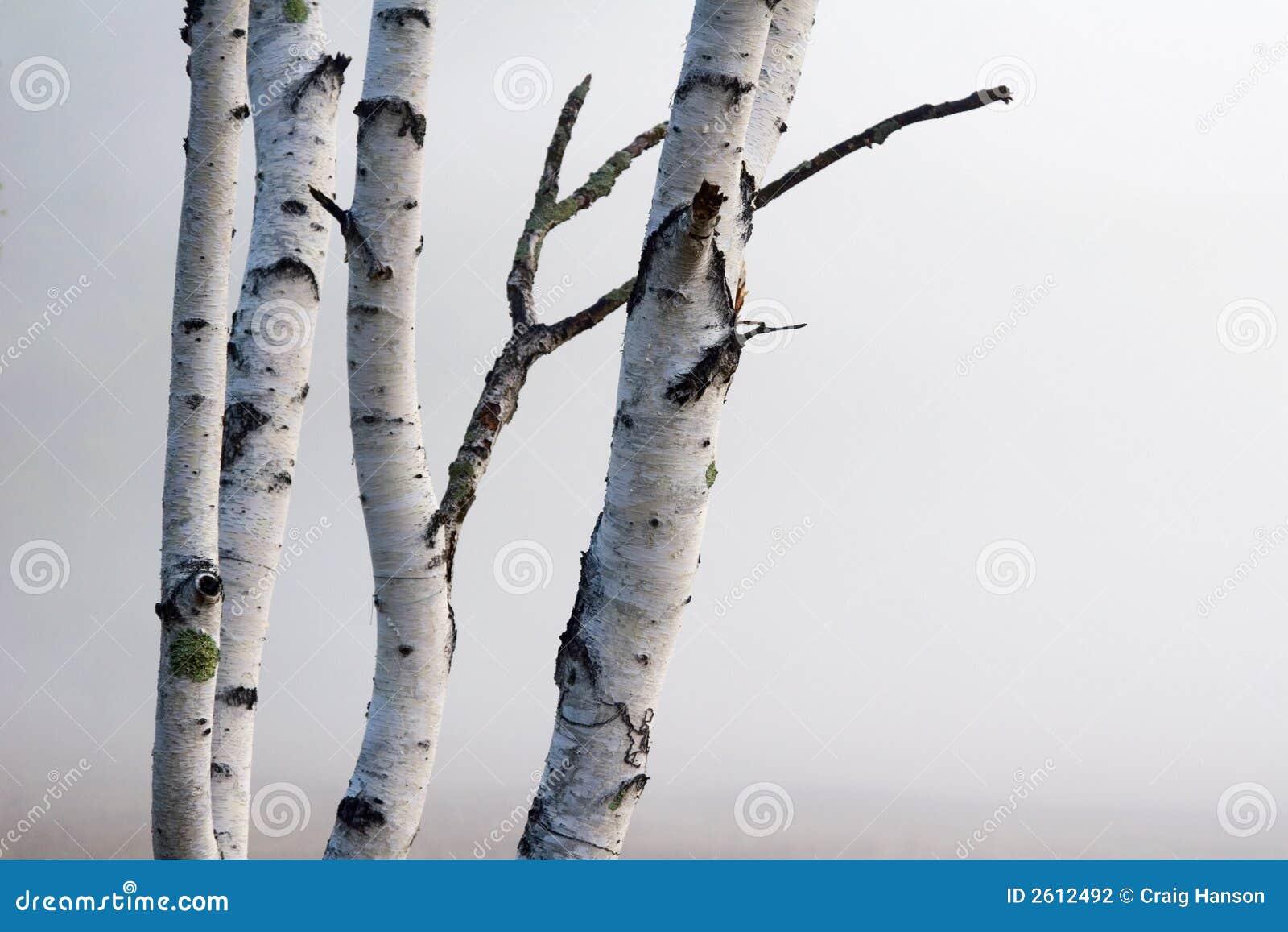 δέντρα ομίχλης σημύδων
