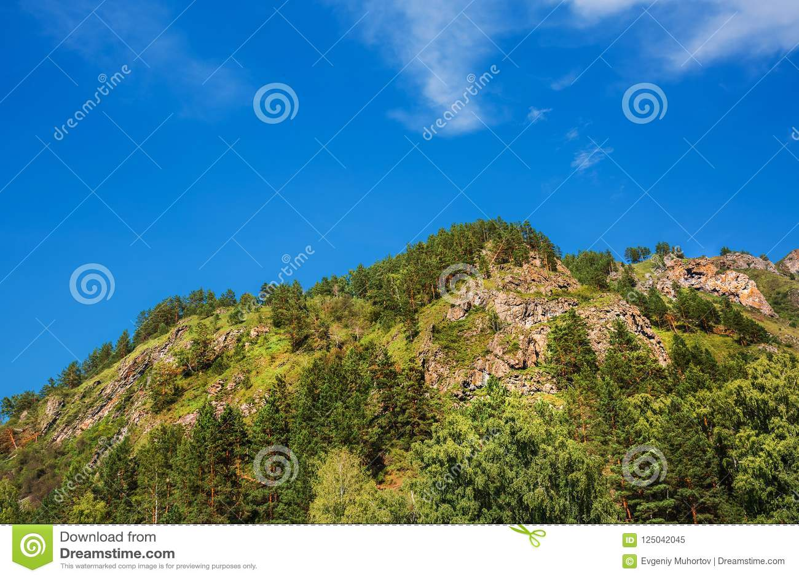 δέντρα πεύκων βουνών Altai, νότια Σιβηρία