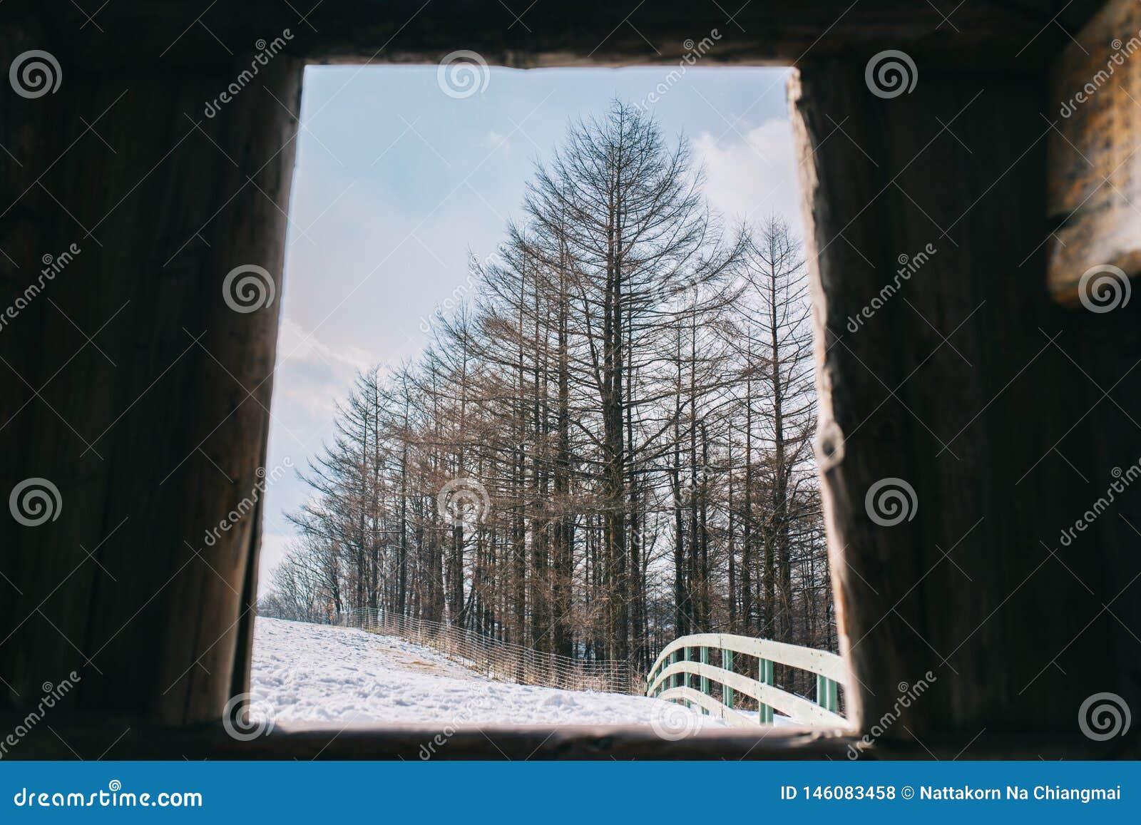 Δέντρα πεύκων το χειμώνα σε Daegwallyeong, Νότια Κορέα