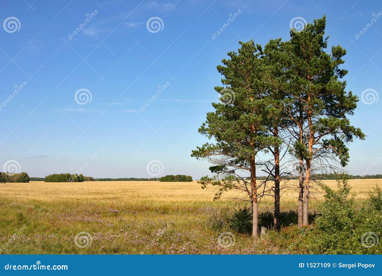 Download δέντρα πεύκων στοκ εικόνα. εικόνα από μόνος, έξω, πεδία - 1527109