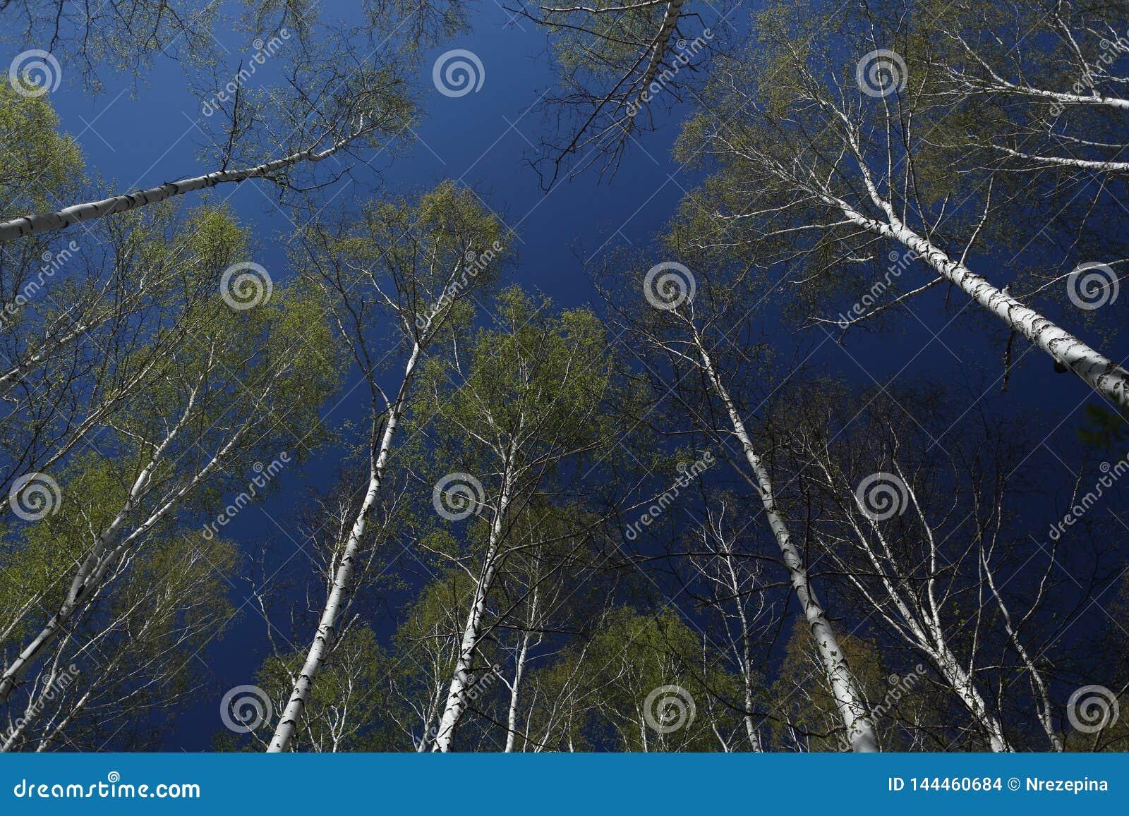 Δέντρα σημύδων με τα μαλακά πράσινα φύλλα στα πλαίσια του ουρανού άνοιξη