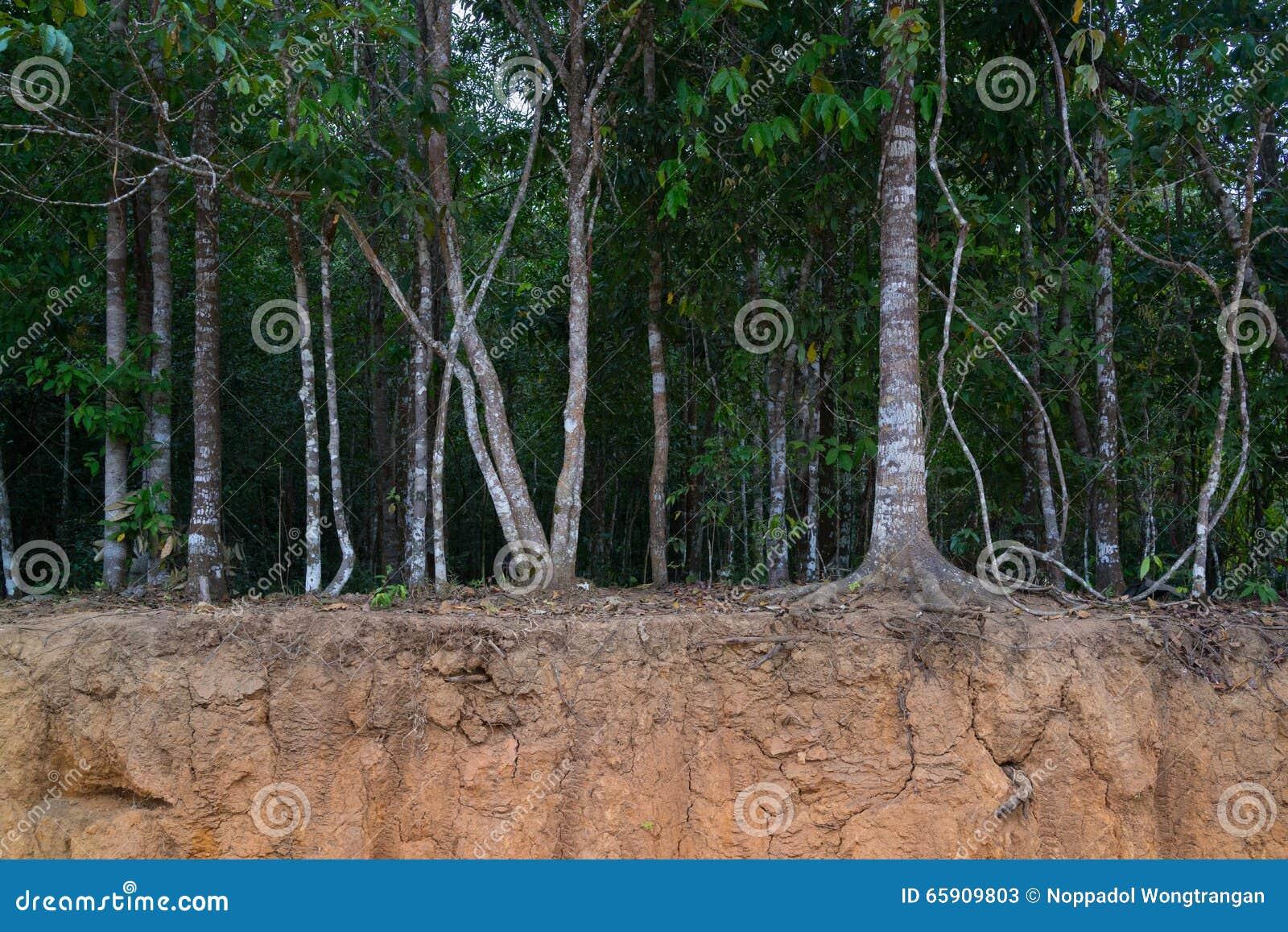 Δέντρα στο μικρό απότομο βράχο που παρουσιάζει ρίζες τους