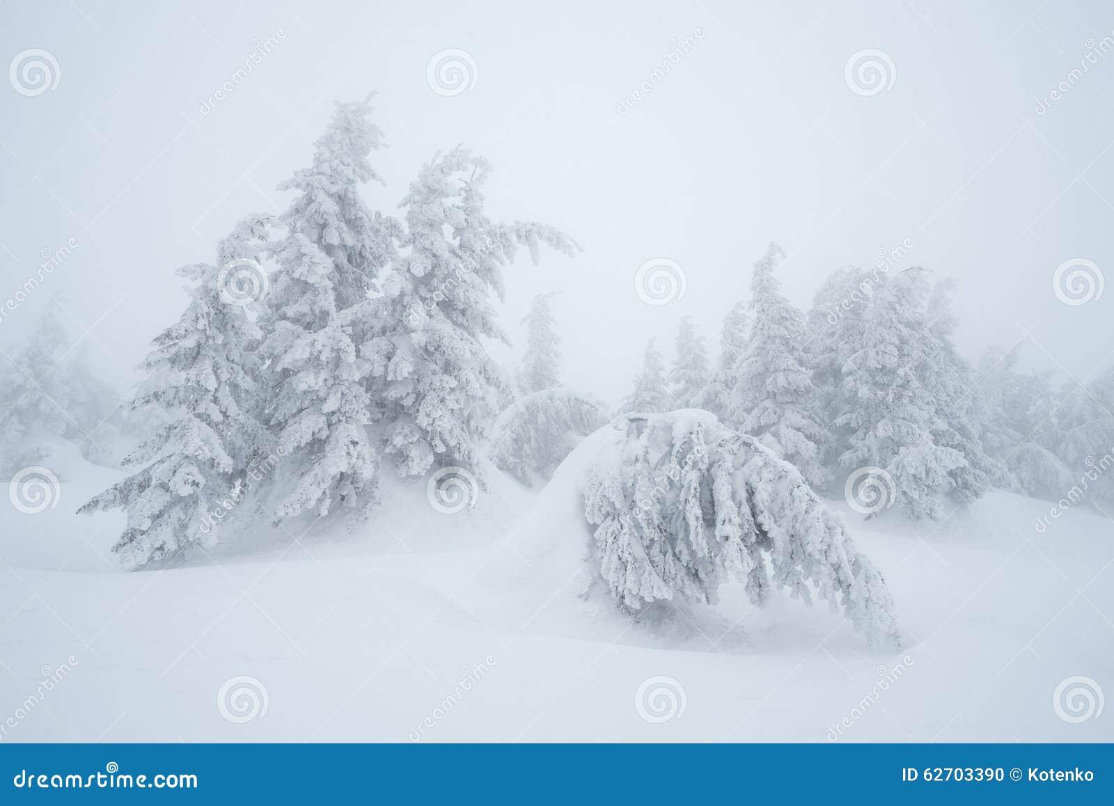 Δέντρα του FIR στο χιόνι
