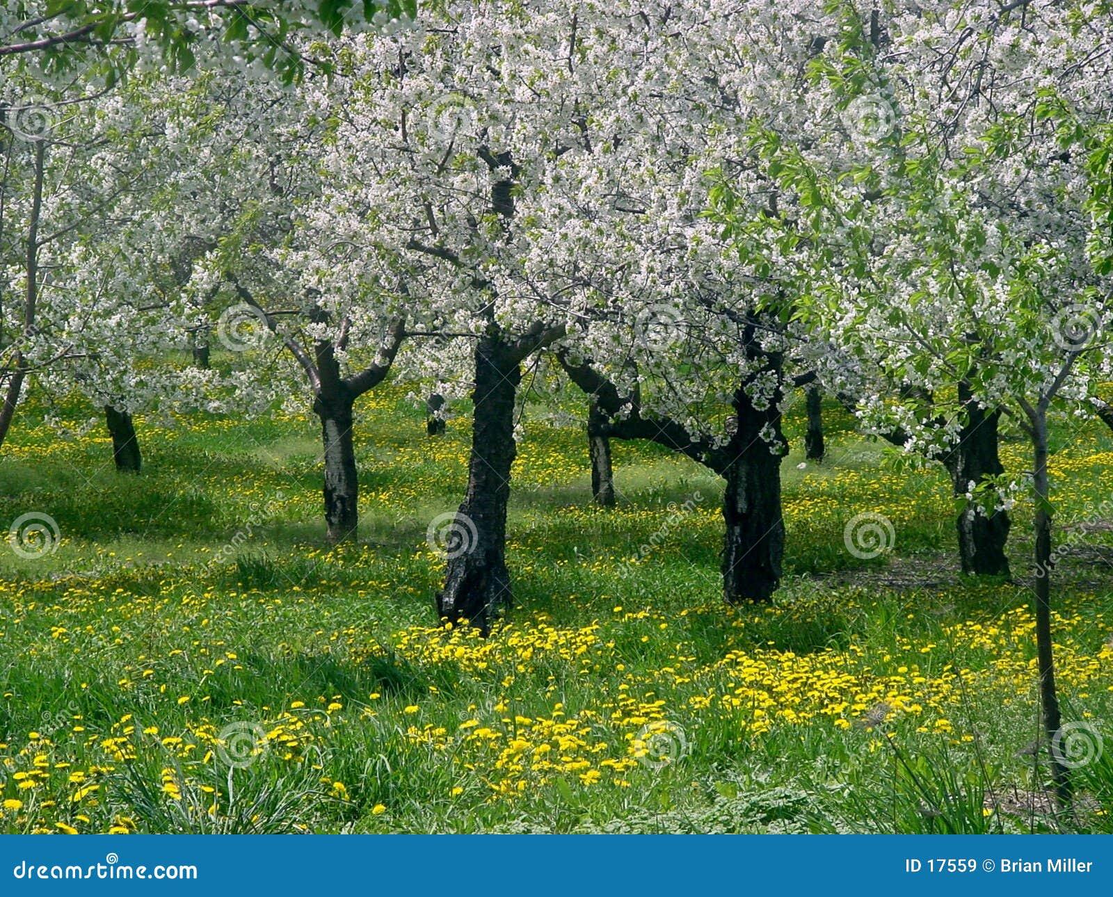 δέντρα leelanau κερασιών