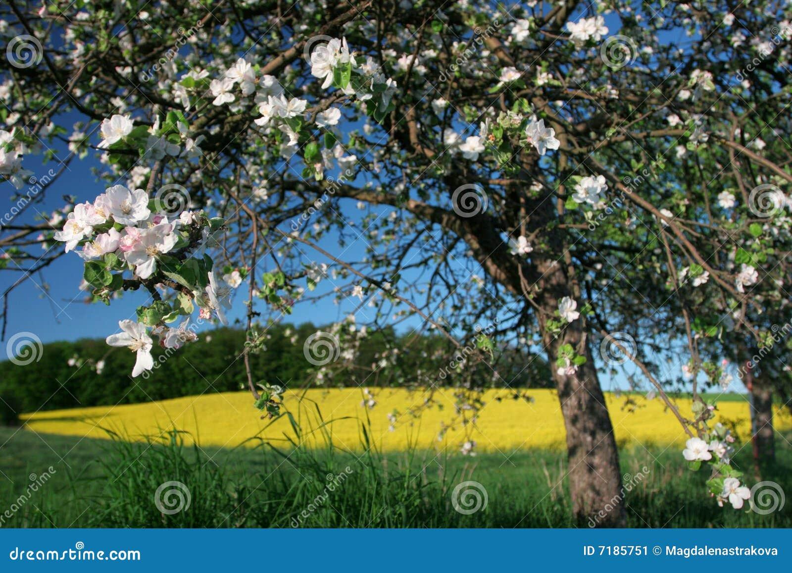 δέντρο άνοιξη άνθισης μήλων